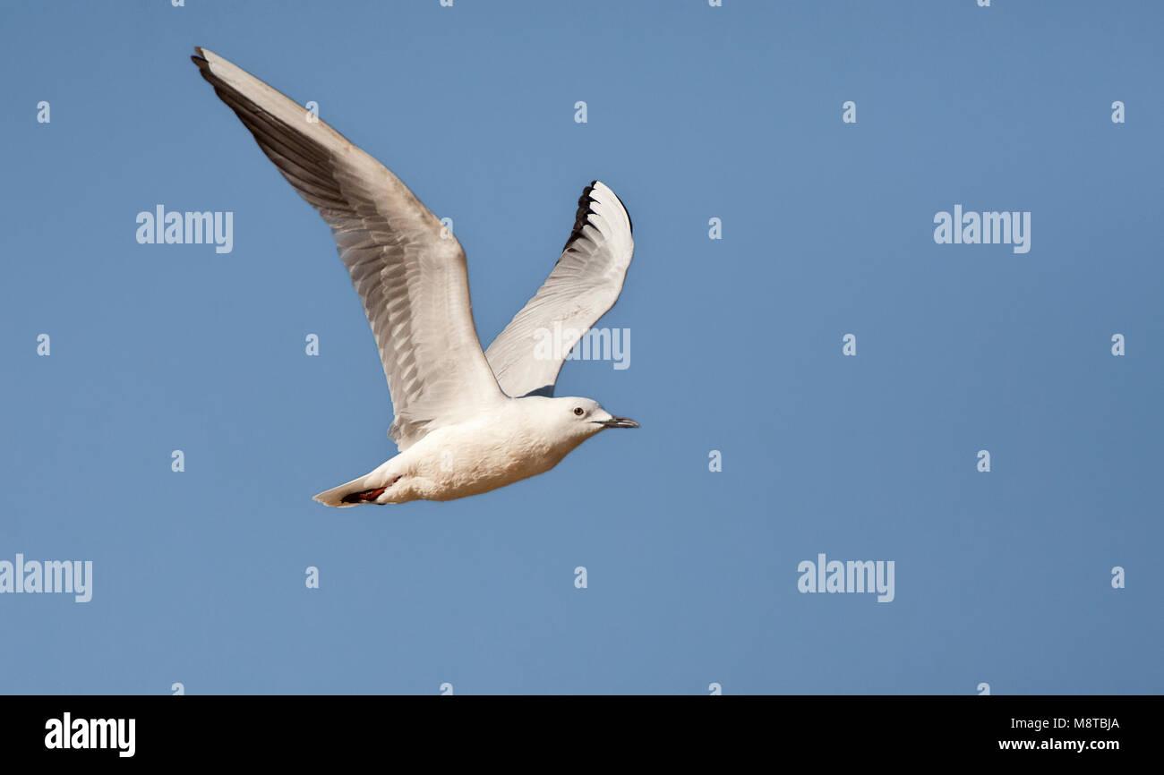 Dunbekmeeuw, Slender-billed Gull, Chroicocephalus genei Stock Photo