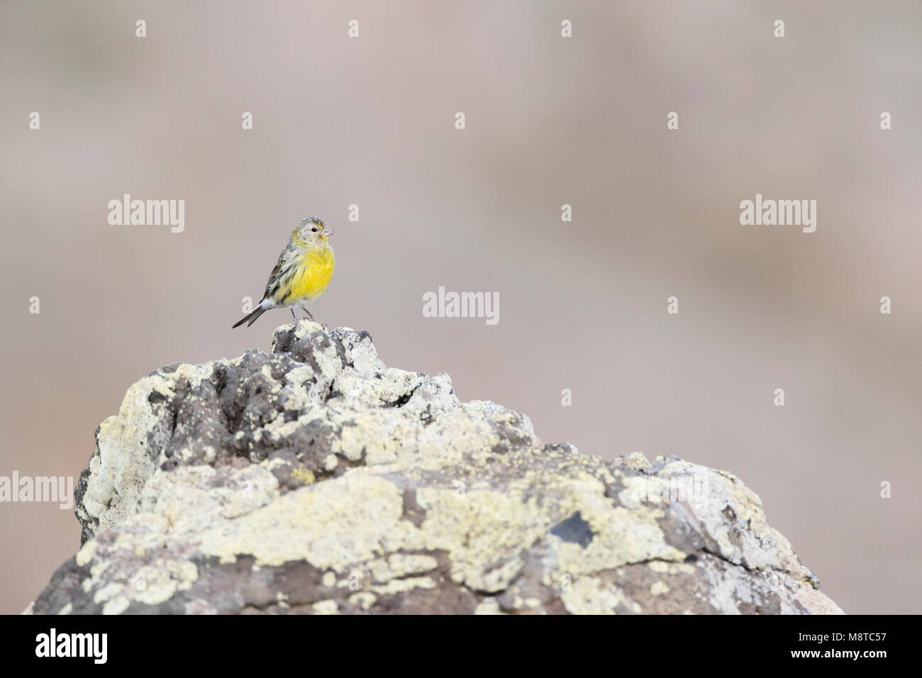 Altantic Canary on Madeira - Stock Image