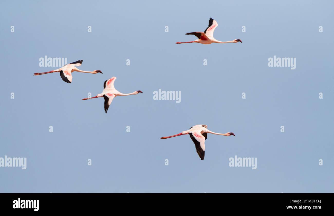Kleine Flamingo's in vlucht; Lesser Flamingo's (Phoeniconaias minor) in flight Stock Photo