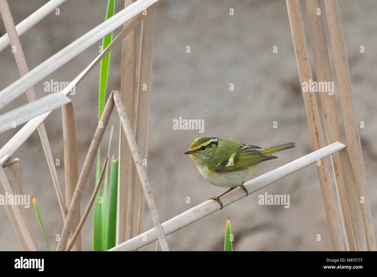 Doortrekkende Pallas' Boszanger aan de oostkust van China; Migrant Pallas's Leaf Warbler (Phylloscopus proregulus) Stock Photo
