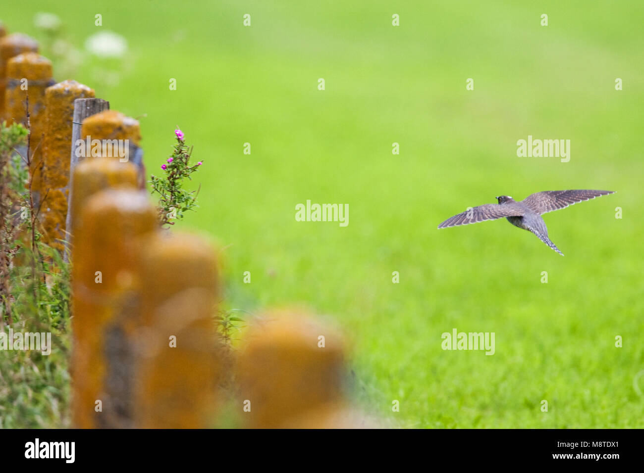 Mannetje Koekoek in de vlucht; Male Eurasian Cuckoo in flight - Stock Image