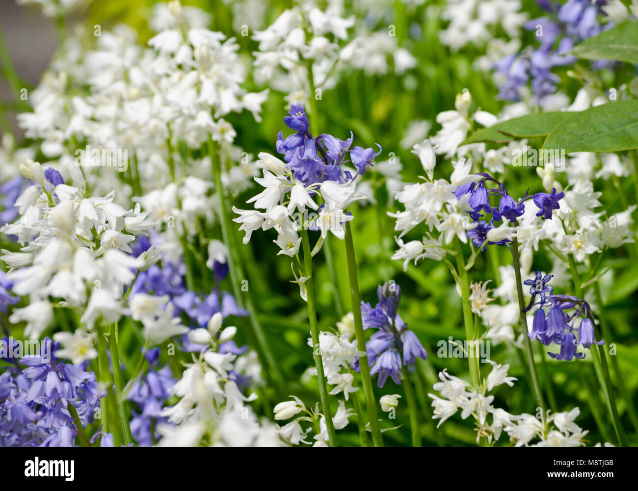 White bluebells flowers stock photos white bluebells flowers stock white and blue spanish bluebell flowers spanish bluebells hyacintholdes hispanica stock image mightylinksfo
