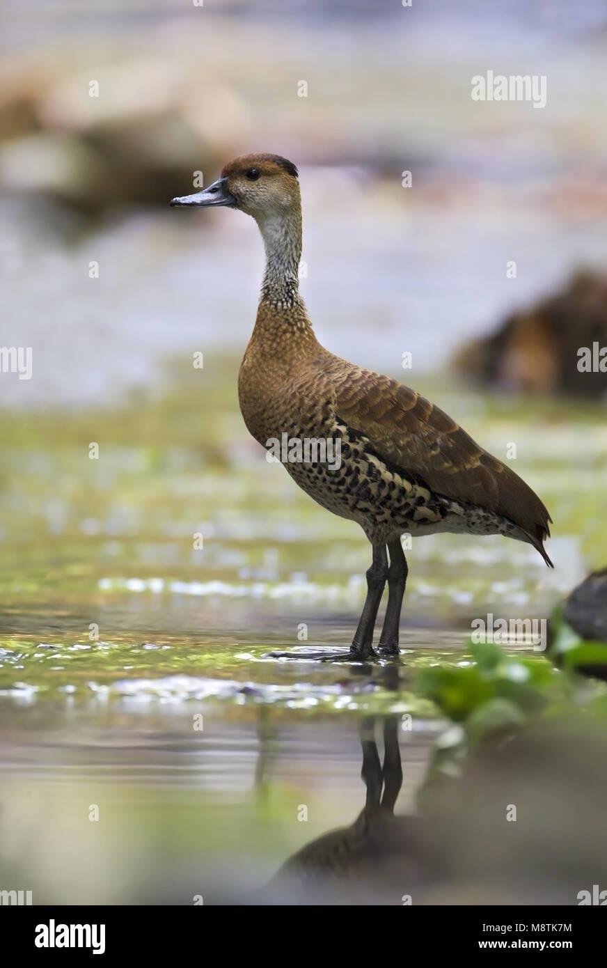 West-Indische Fluiteend, West Indian Whistling-Duck - Stock Image