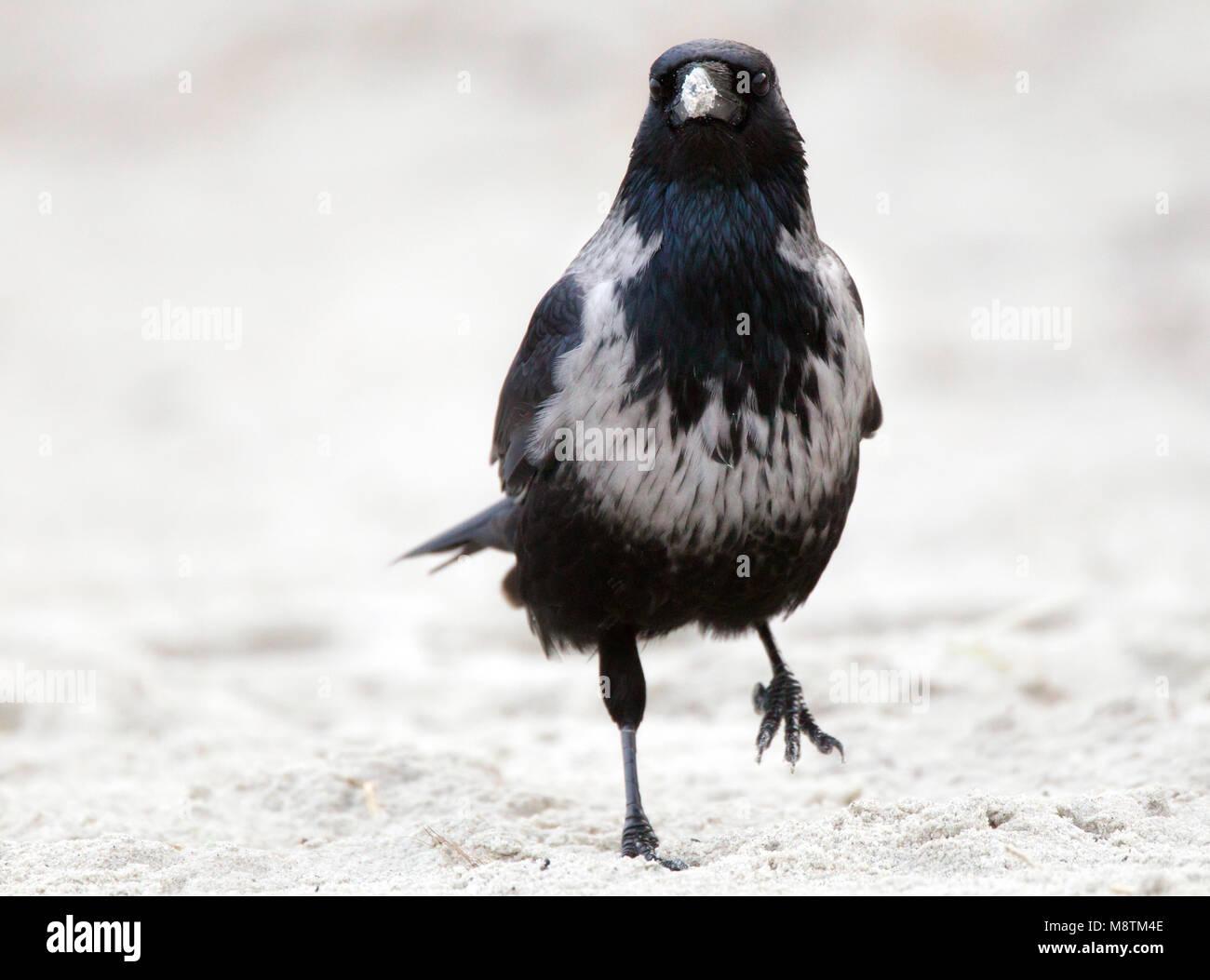 Hybride Bonte Kraai x Zwarte Kraai lopend in zand; Hybrid Hooded Crow x Carrion Crow walking in sand Stock Photo