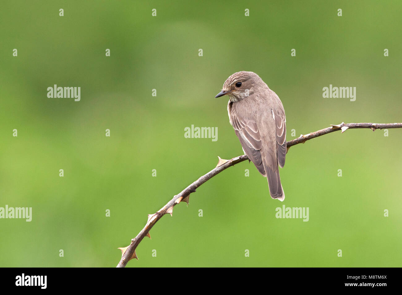 Grauwe Vliegenvanger zittend op tak; Spotted Flycatcher perched on branch - Stock Image