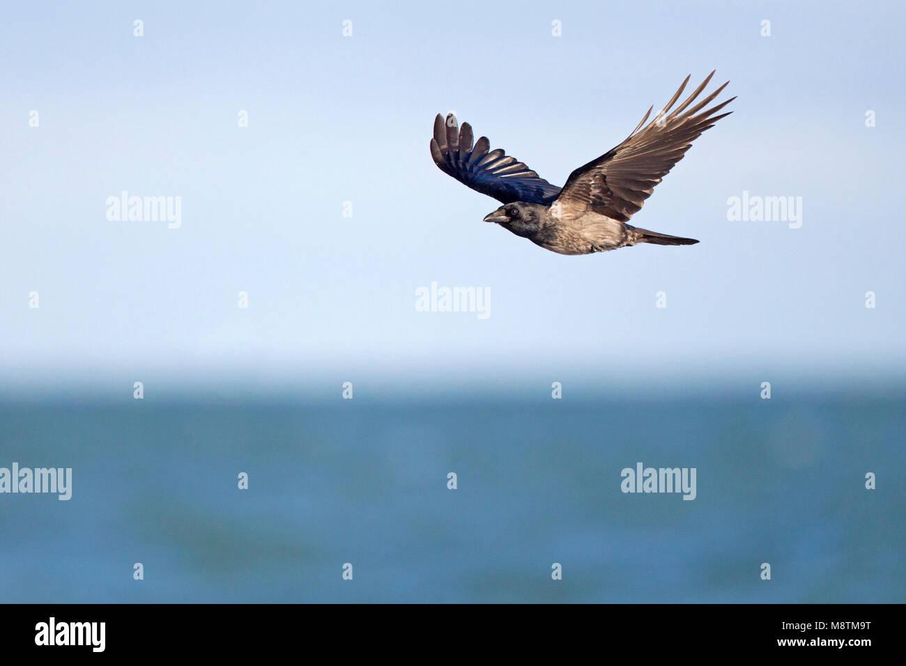 Hybride Bonte Kraai x Zwarte Kraai vliegend; Hybrid Hooded Crow x Carrion Crow flying Stock Photo