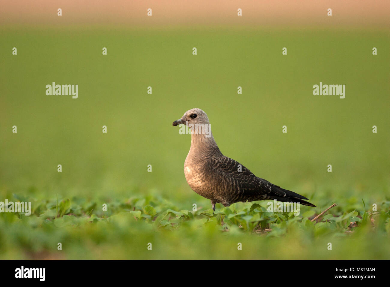 Kleinste Jager zittend in veld; Long-tailed Skua perched in field - Stock Image