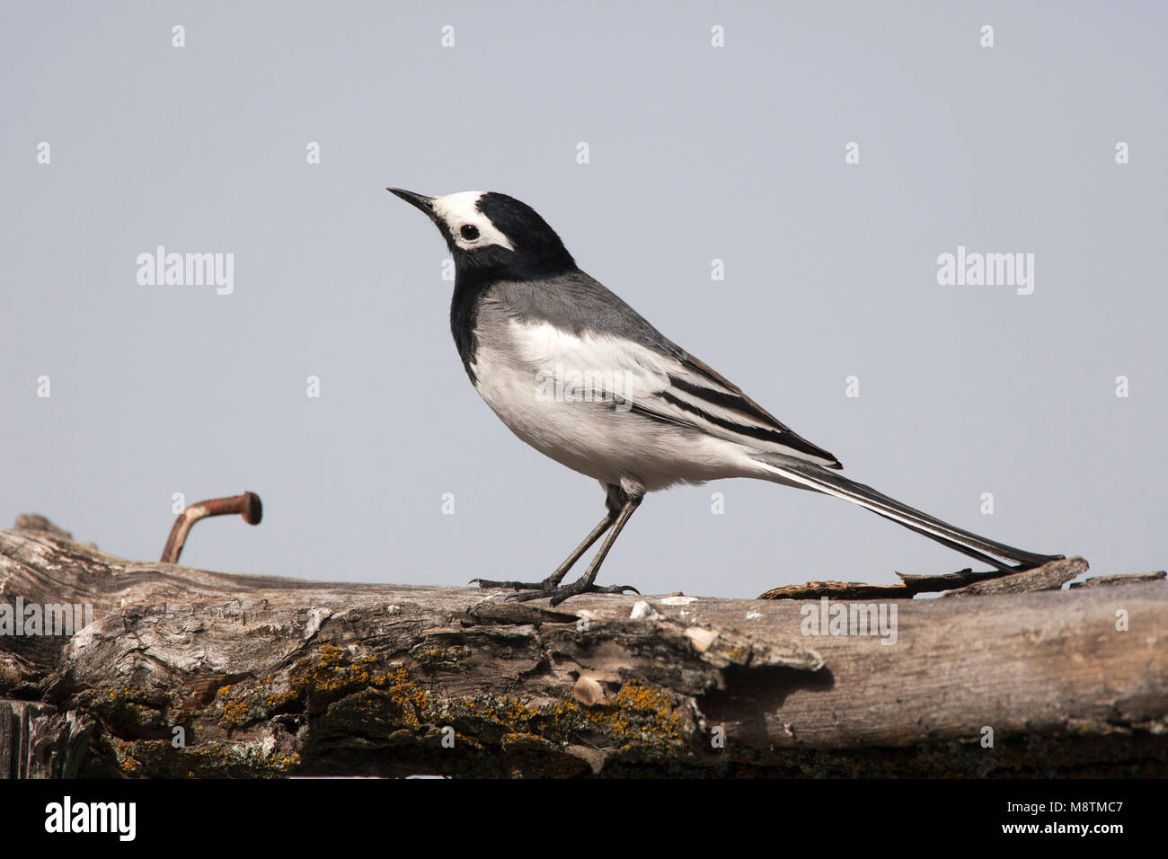 Maskerkwikstaart zittend op tak; Masked Wagtail perched on branch - Stock Image