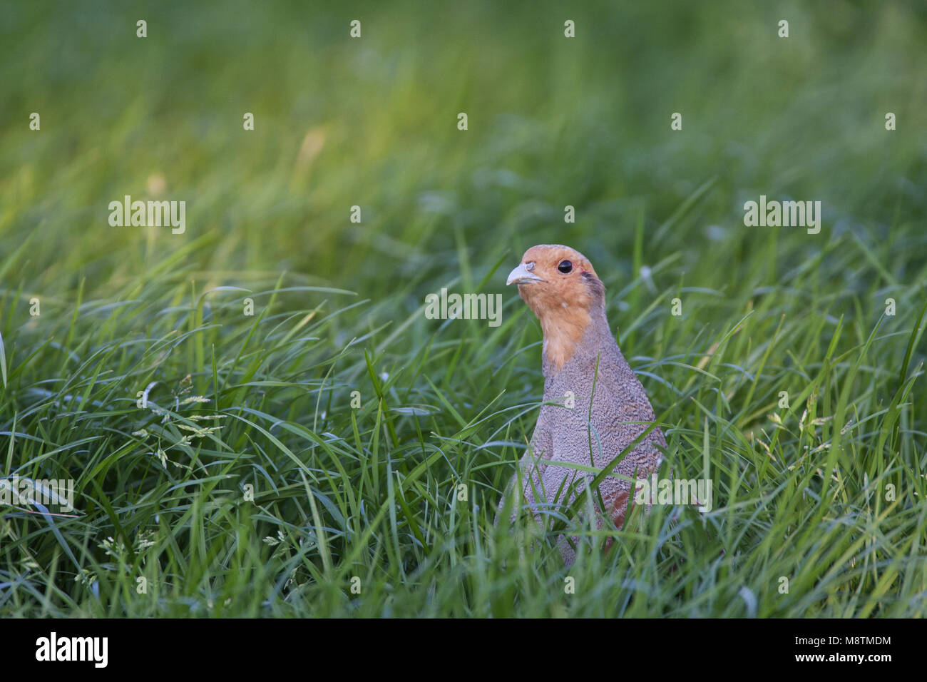 Patrijs; Perdix perdix; Grey Partridge; Rebhuhn; Perdix grise; hoenders; fazanten; vogel; natuur; dier; avifauna; - Stock Image