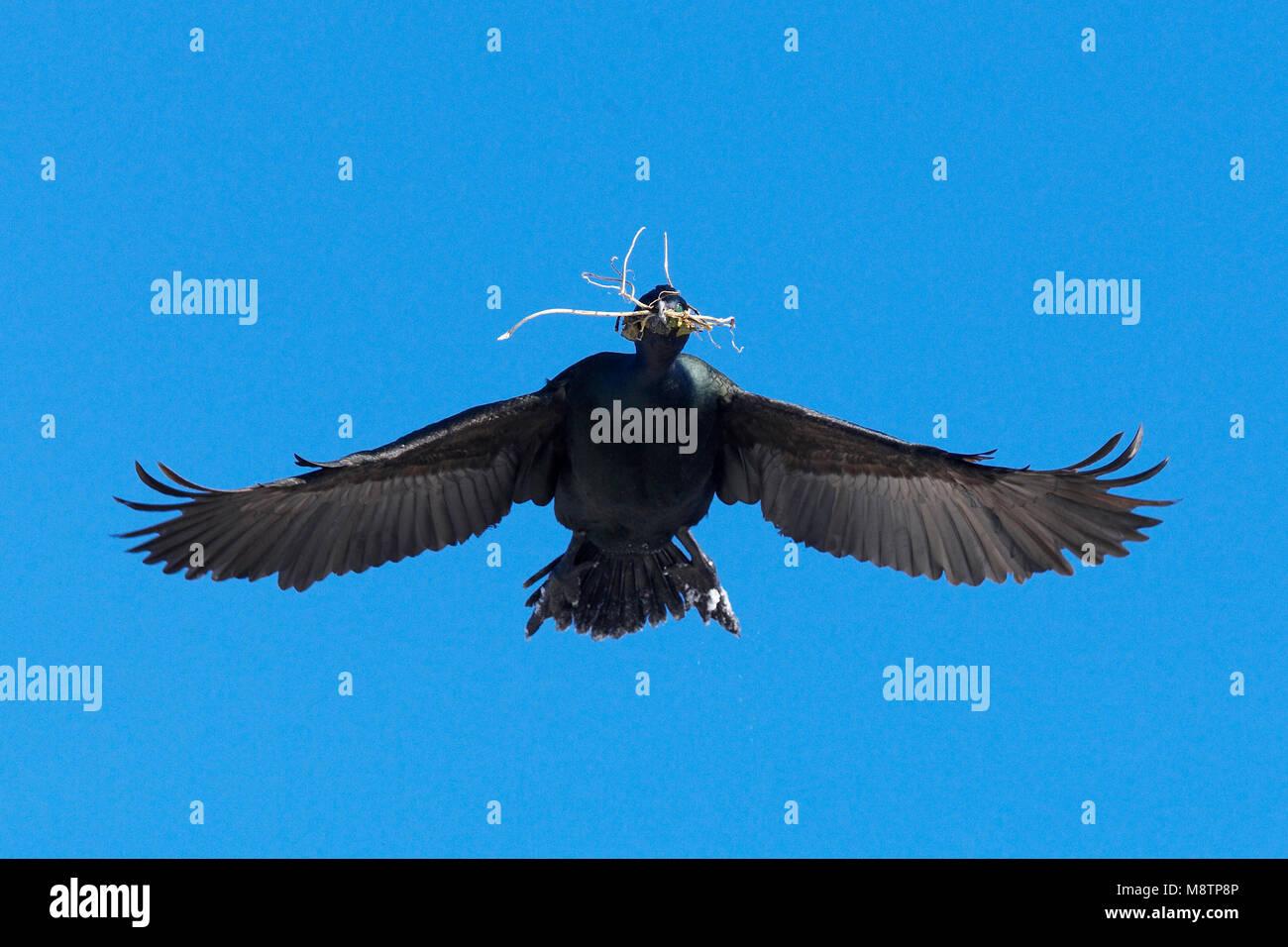 Kuifaalscholver vliegend met nestmateriaal; European Shag flying with nesting material - Stock Image