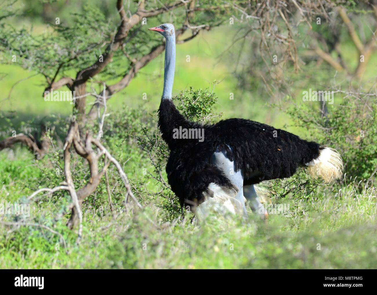 Somali Ostrich (Struthio molybdophanes) in Samburu Buffalo-Springs NP, Kenia - Stock Image