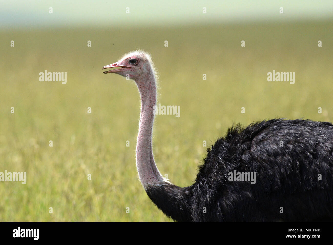 Ostrich (Struthio camelus) male close-up in the Masai Mara - Stock Image