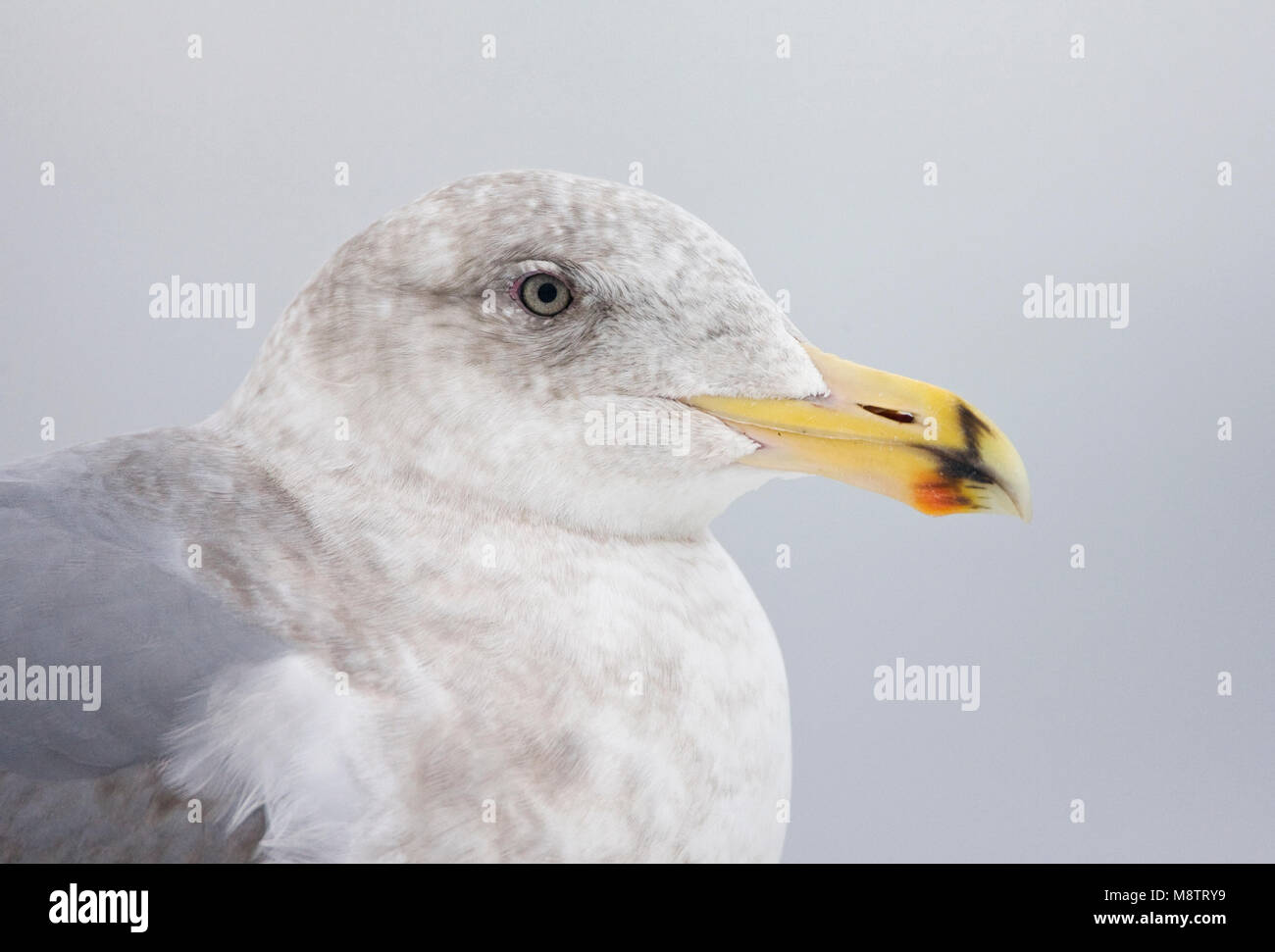 Beringmeeuw close-up; Glaucous-winged Gull portrait - Stock Image