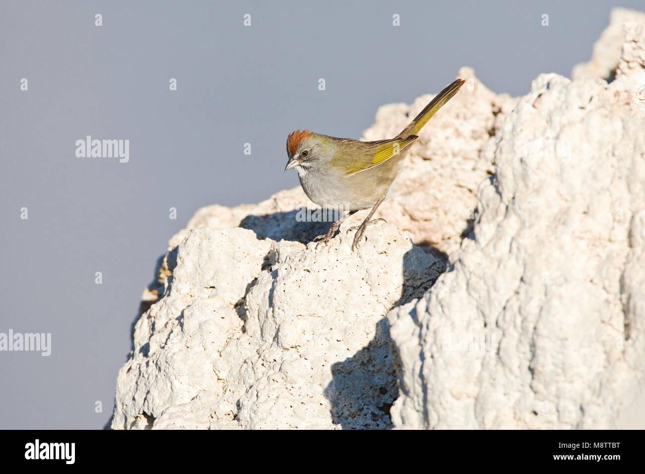 Groenstaarttowie; Green-tailed Towhee - Stock Image