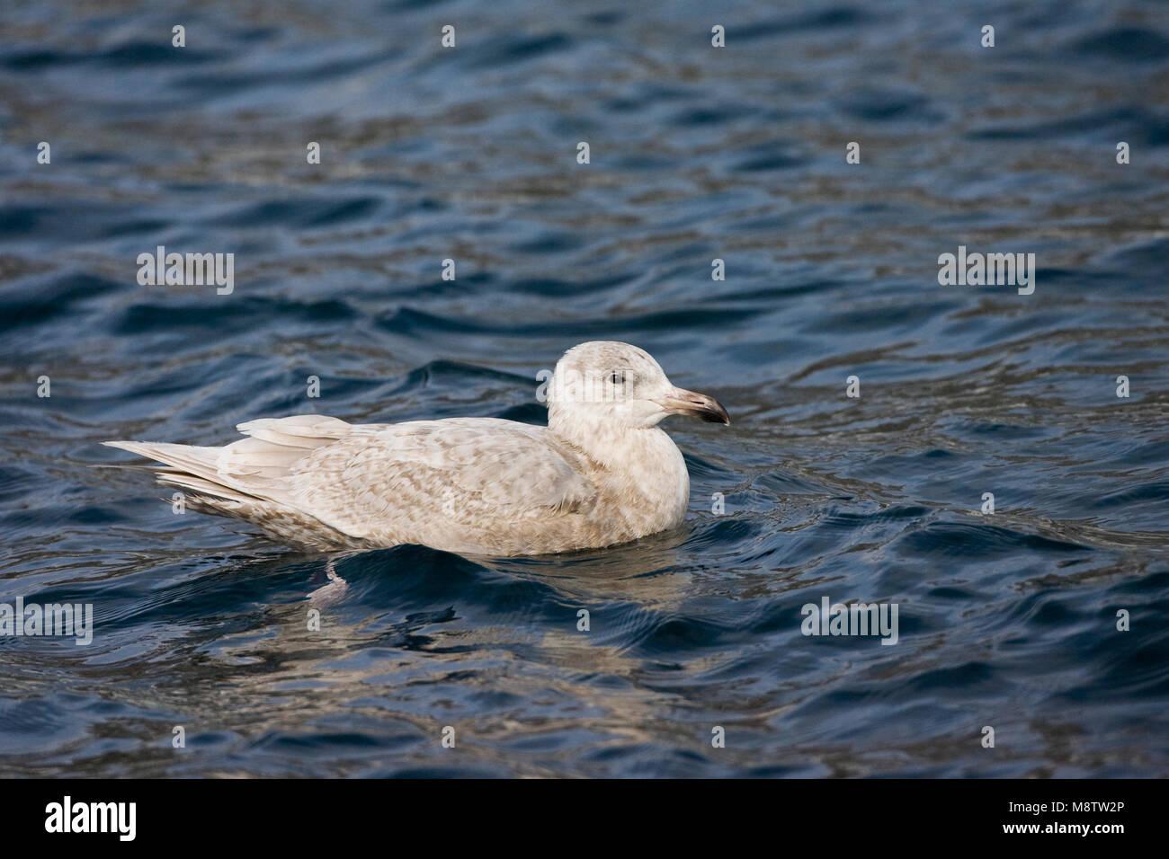 Onvolwassen Beringmeeuw; Immature Glaucous-winged Gull - Stock Image