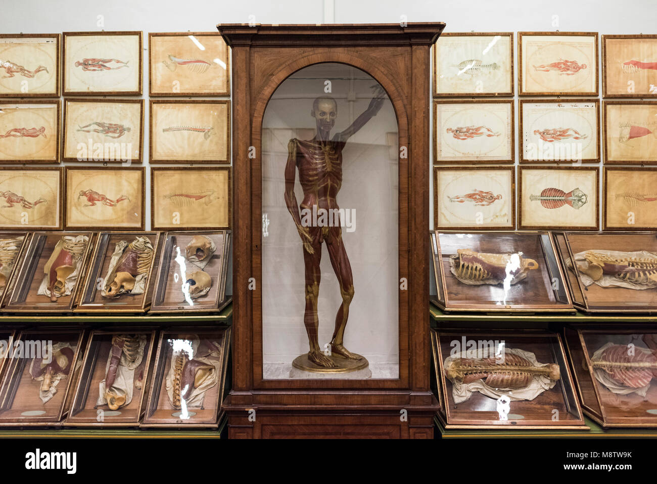 Florence. Italy. Collection of 18th century wax anatomical models at La Specola, Museum of Zoology and Natural History. Stock Photo