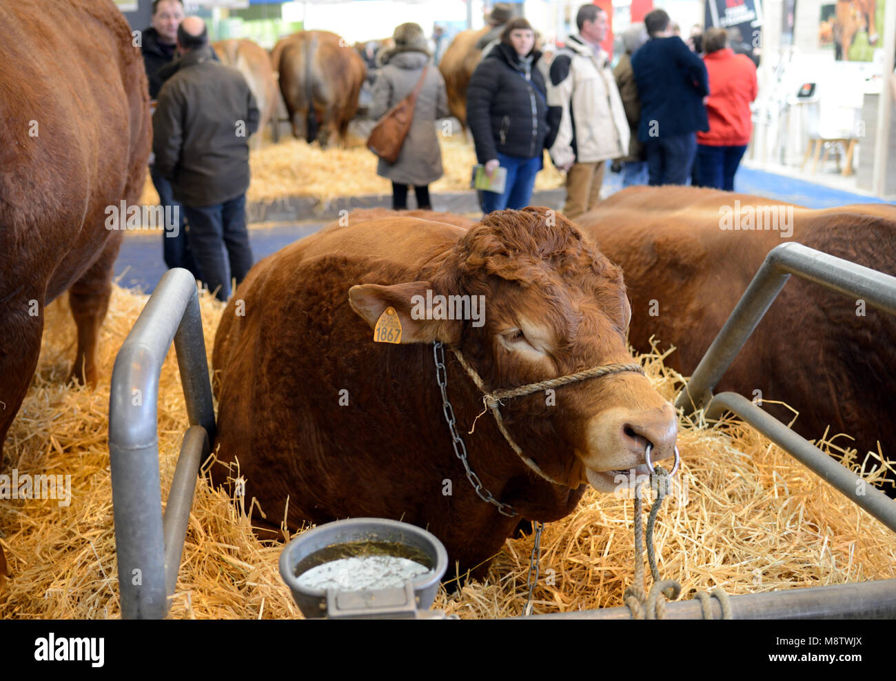 Limousin Beef Cattle and Visitors at the Paris International Agricultural Show, or Salon International de l'Agriculture, - Stock Image