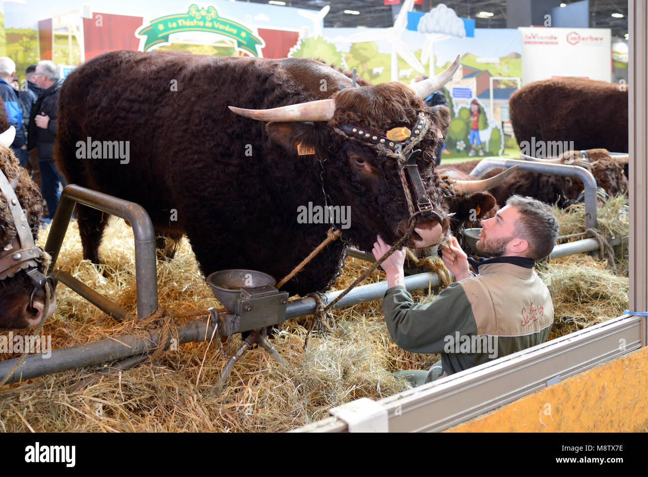 Dual-Purpose Salers Cattle, Cow or Bull & Breeder or Farmer in Cattle Pen at the Paris International Agricultural - Stock Image