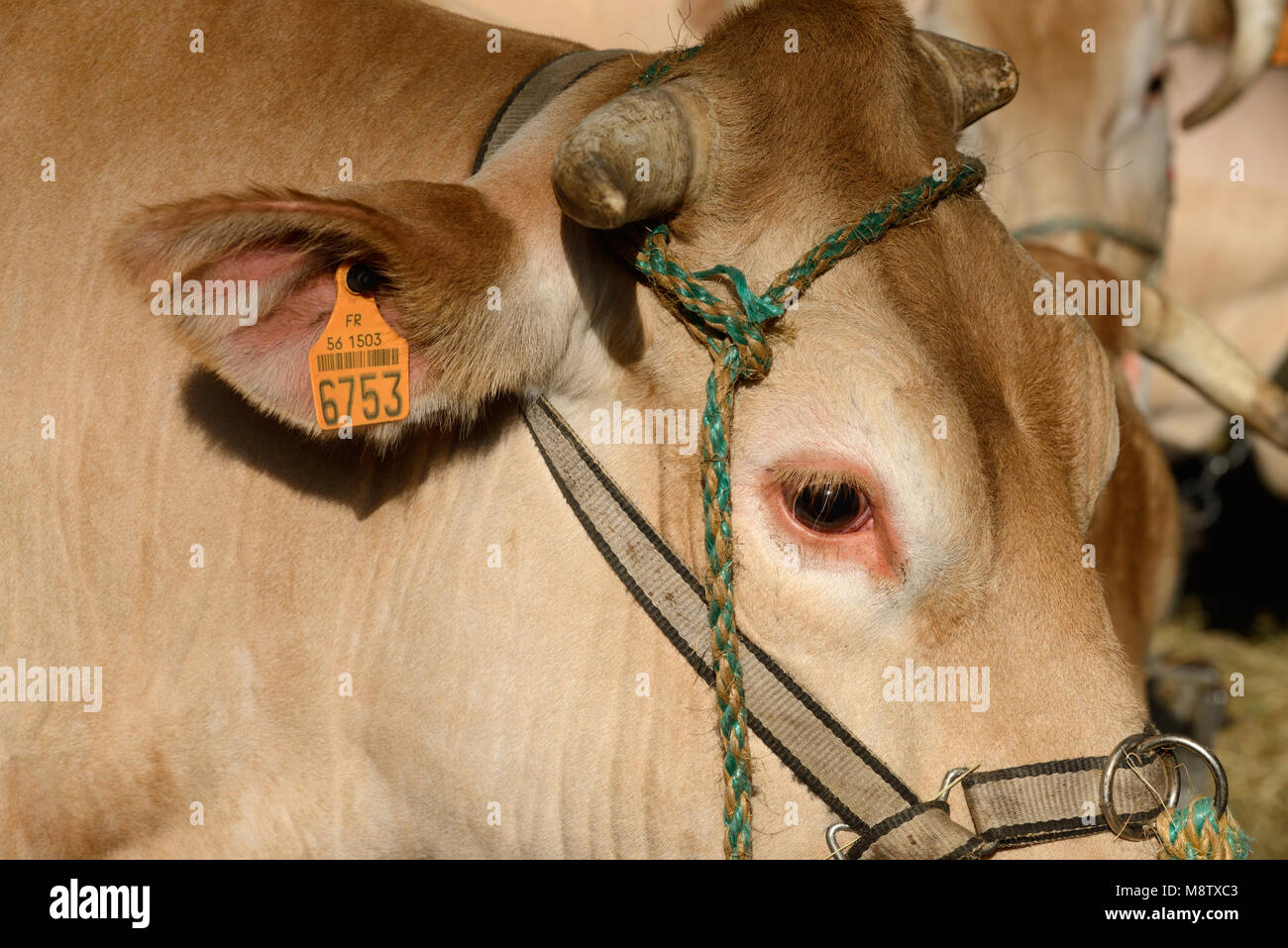 Blonde d'Aquitaine Beef Cow or Cattle with Traceability or Identification Tag Attached to Ear - Stock Image