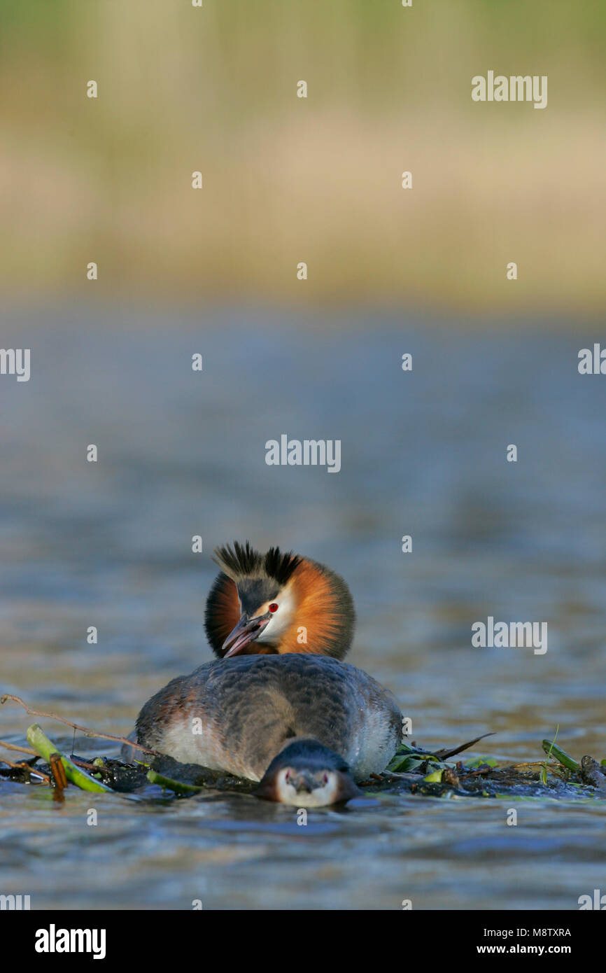 Futen parend; Great Crested Grebes mating - Stock Image