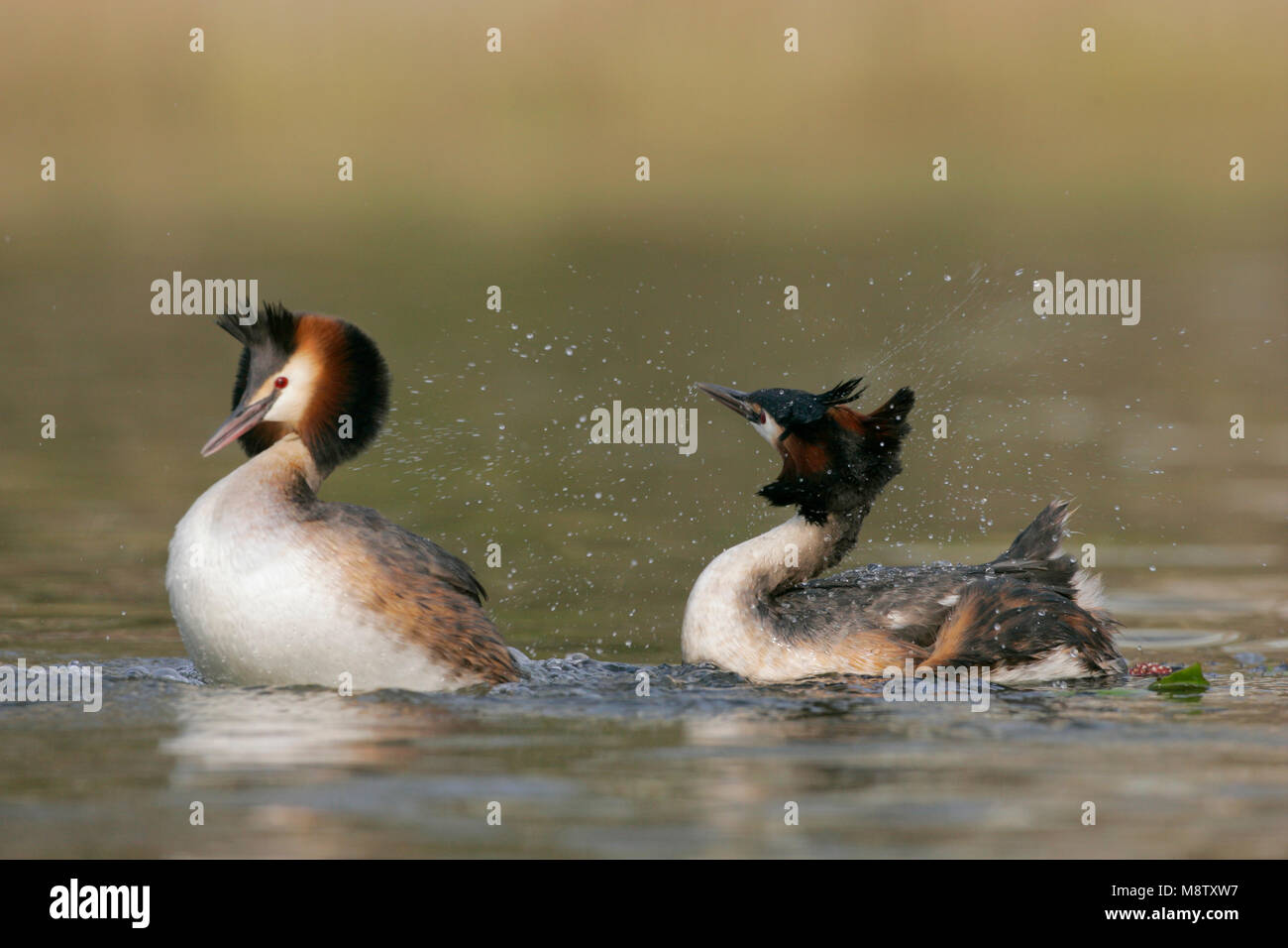 Futen baltsend; Great Crested Grebes displaying - Stock Image
