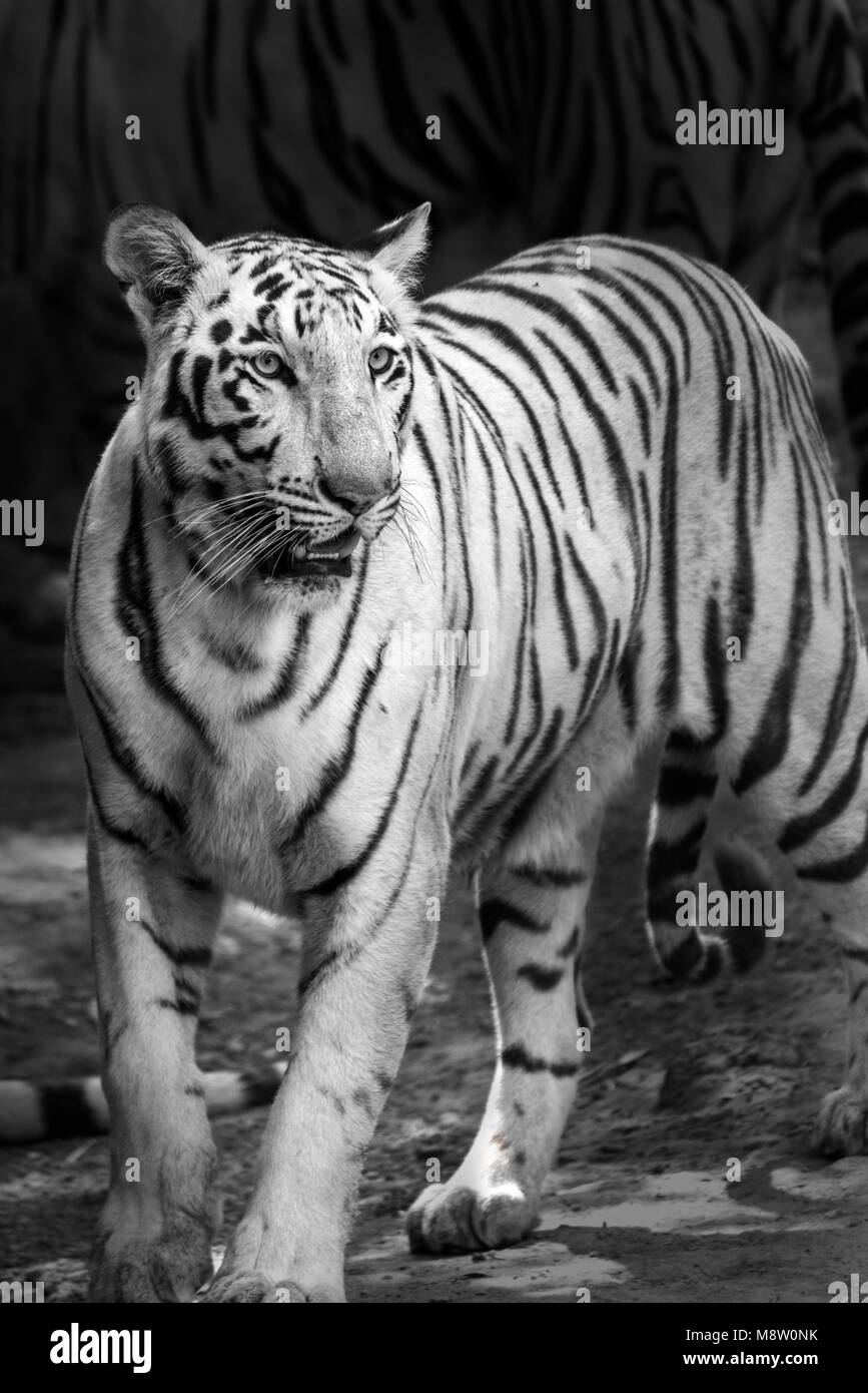 Portrait of a White Tiger or bleached tiger in Black and White in Rajkot India - Stock Image