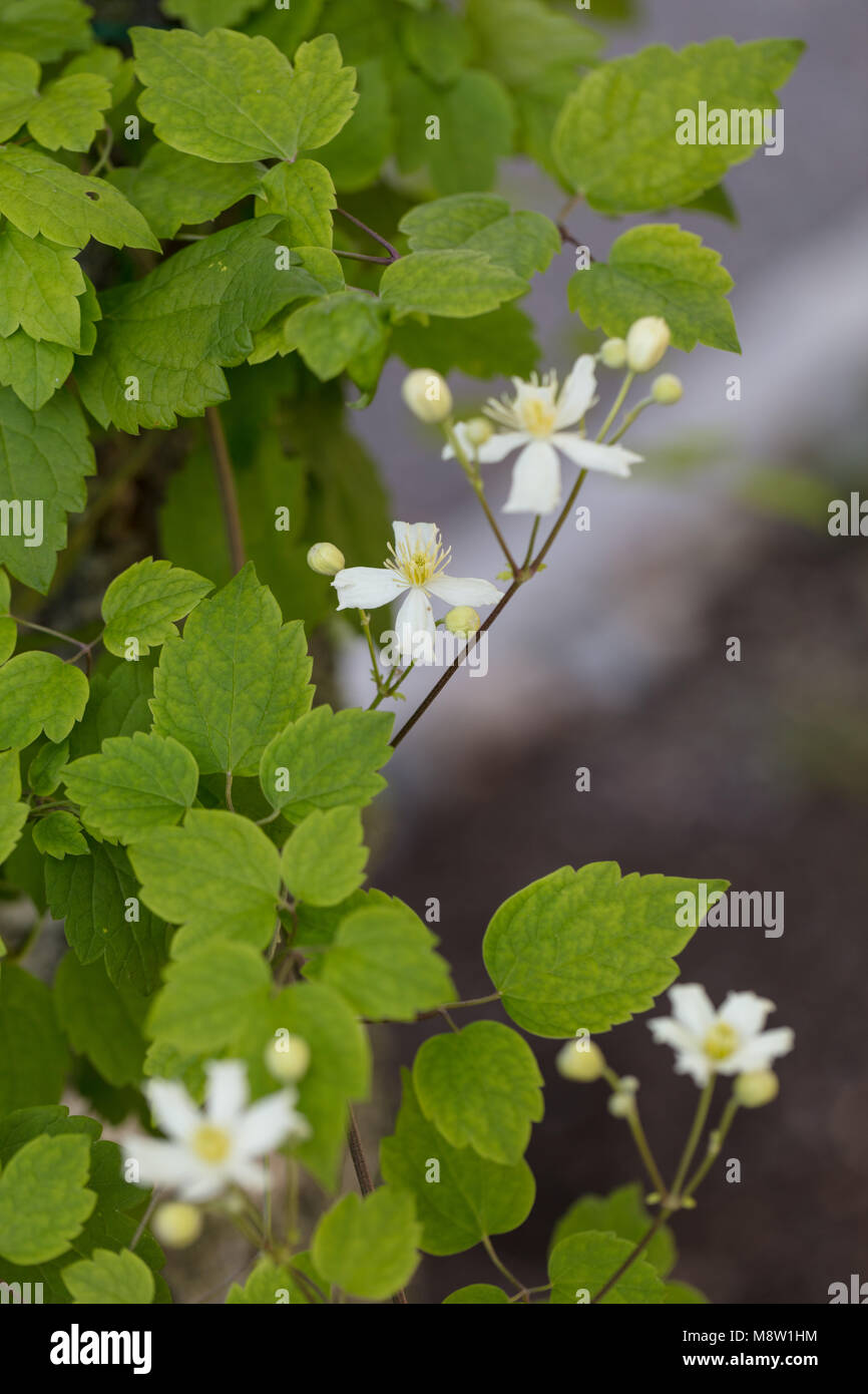 'Paul Farges, Summer Snow' Old man's beard, Skogsklematis (Clematis vitalba) Stock Photo