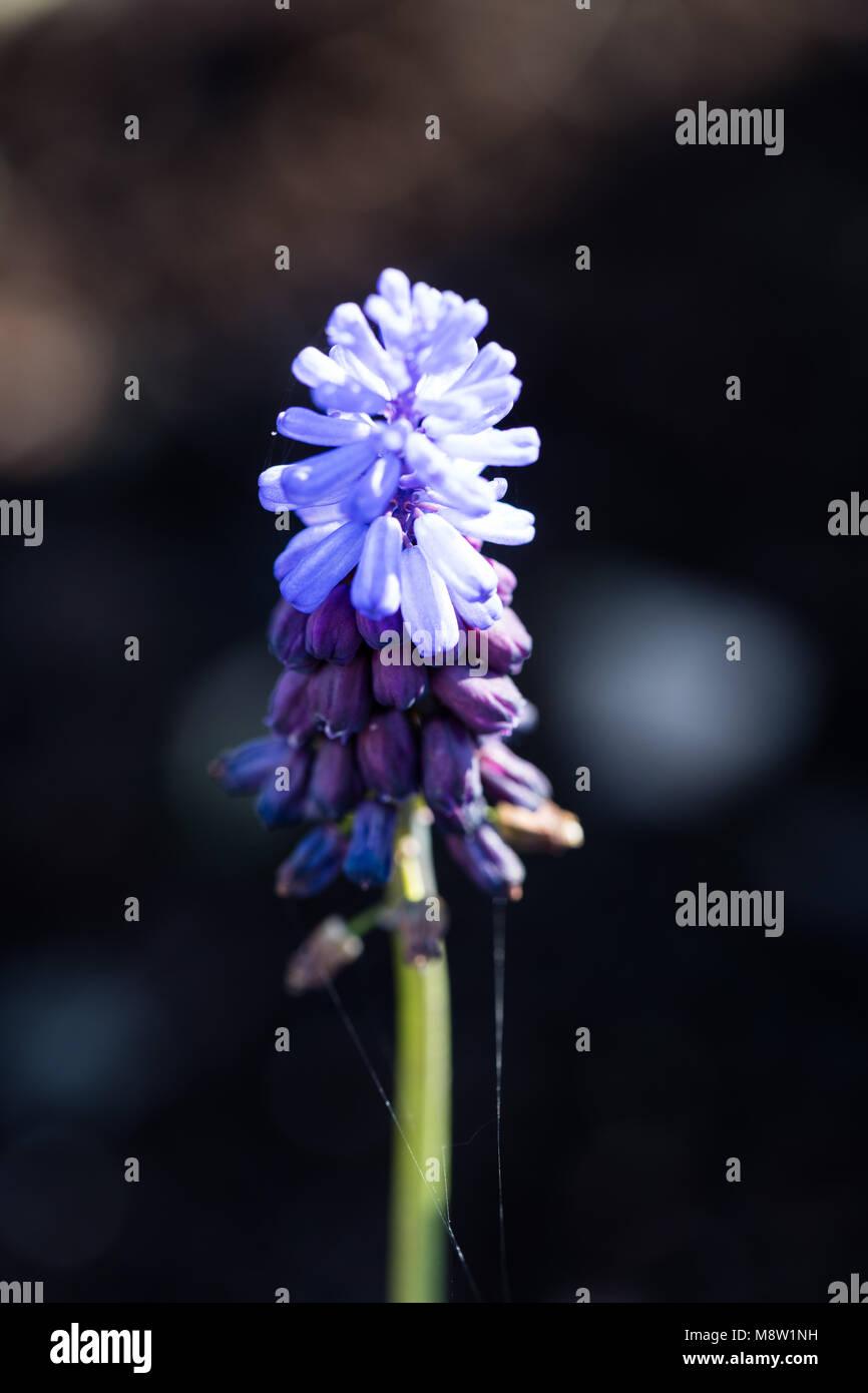 Broad-leaved grape hyacinth, Bredbladig pärlhyacint (Muscari latifolium) Stock Photo