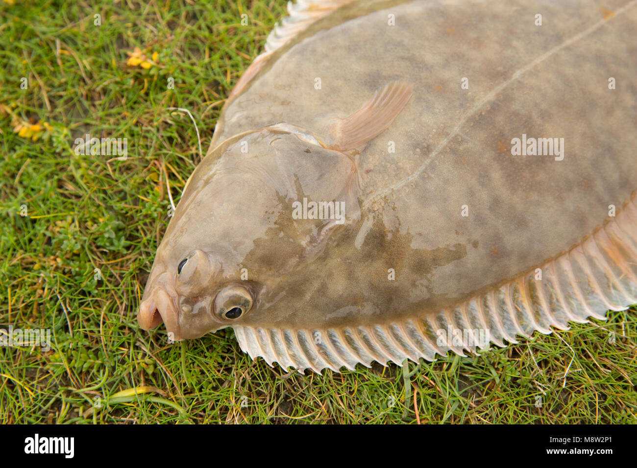 A flounder, Platichthys flesus, caught from Morecambe Bay on light tackle baited with lugworms, Lancashire, England - Stock Image