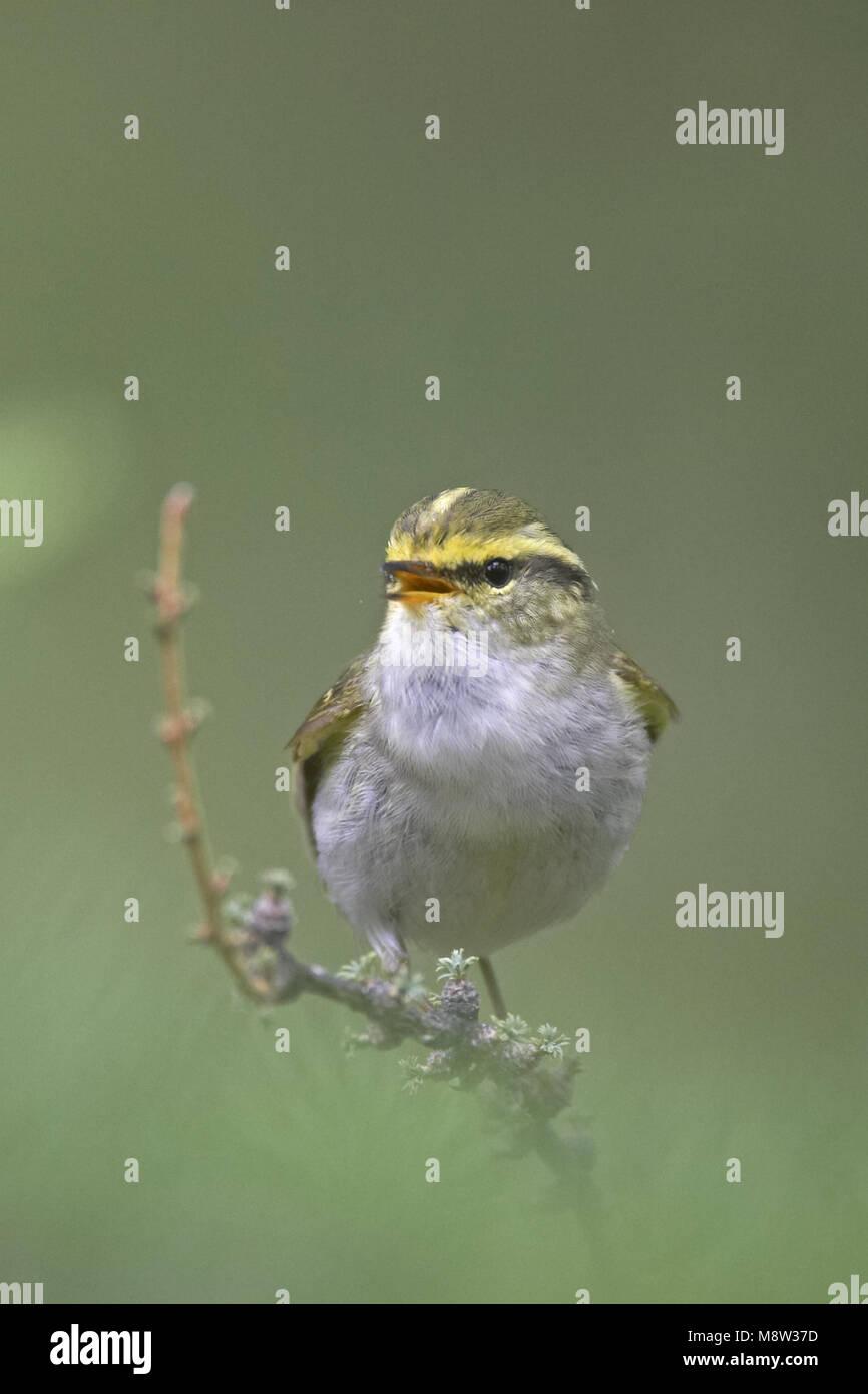 Pallass Leaf Warbler male singing; Pallas Boszanger man zingend Stock Photo