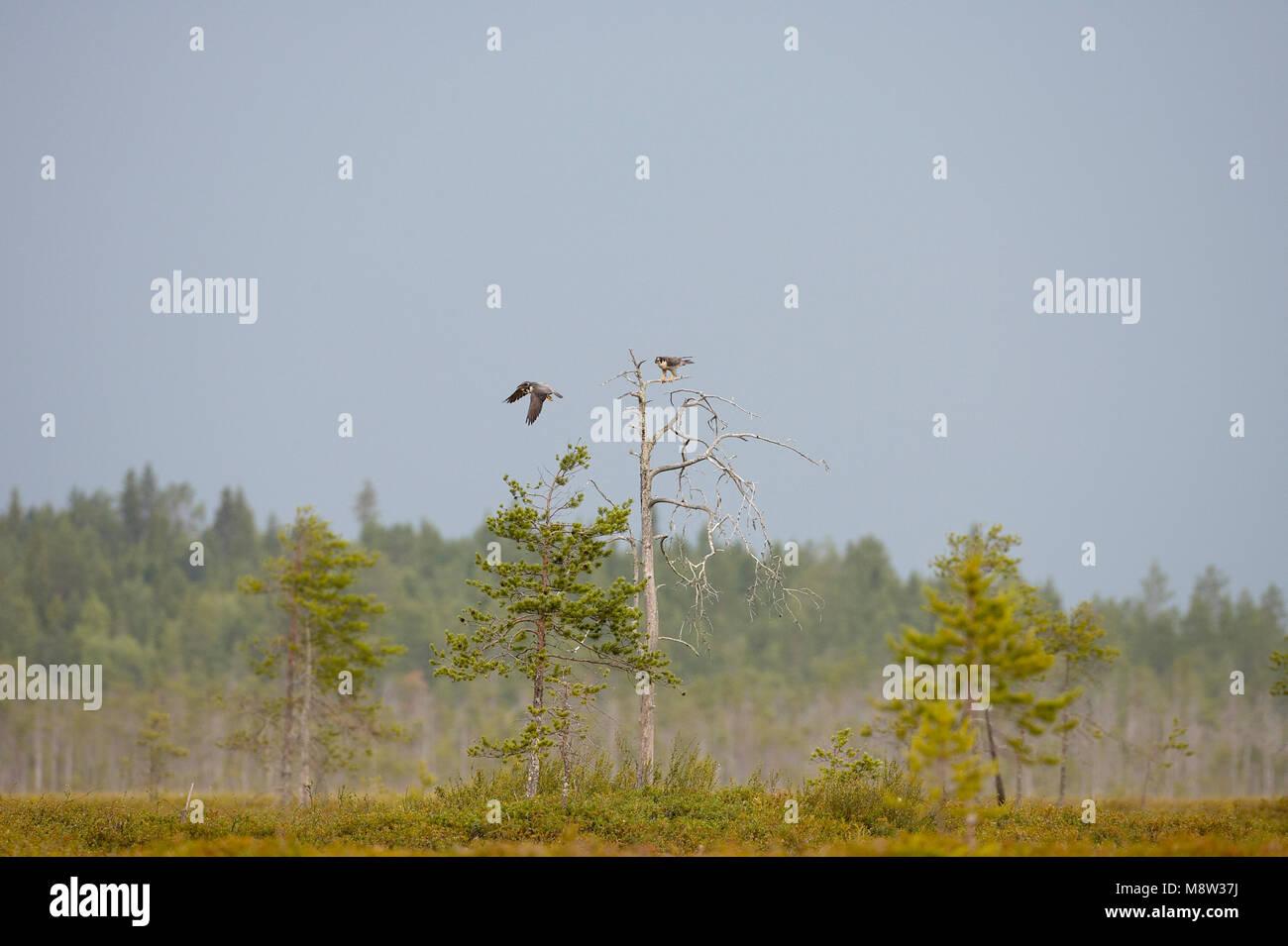Slechtvalk, Peregrine Falcon, Falco peregrinus - Stock Image