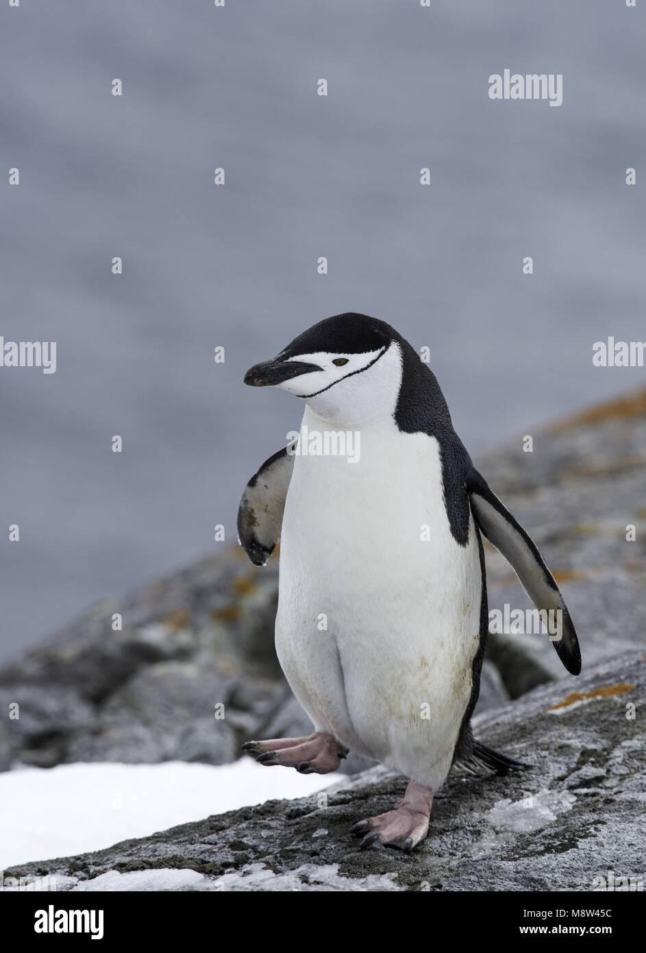 Chinstrap Penguin, Keelbandpinguin, Pygoscelis antarcticus Stock Photo