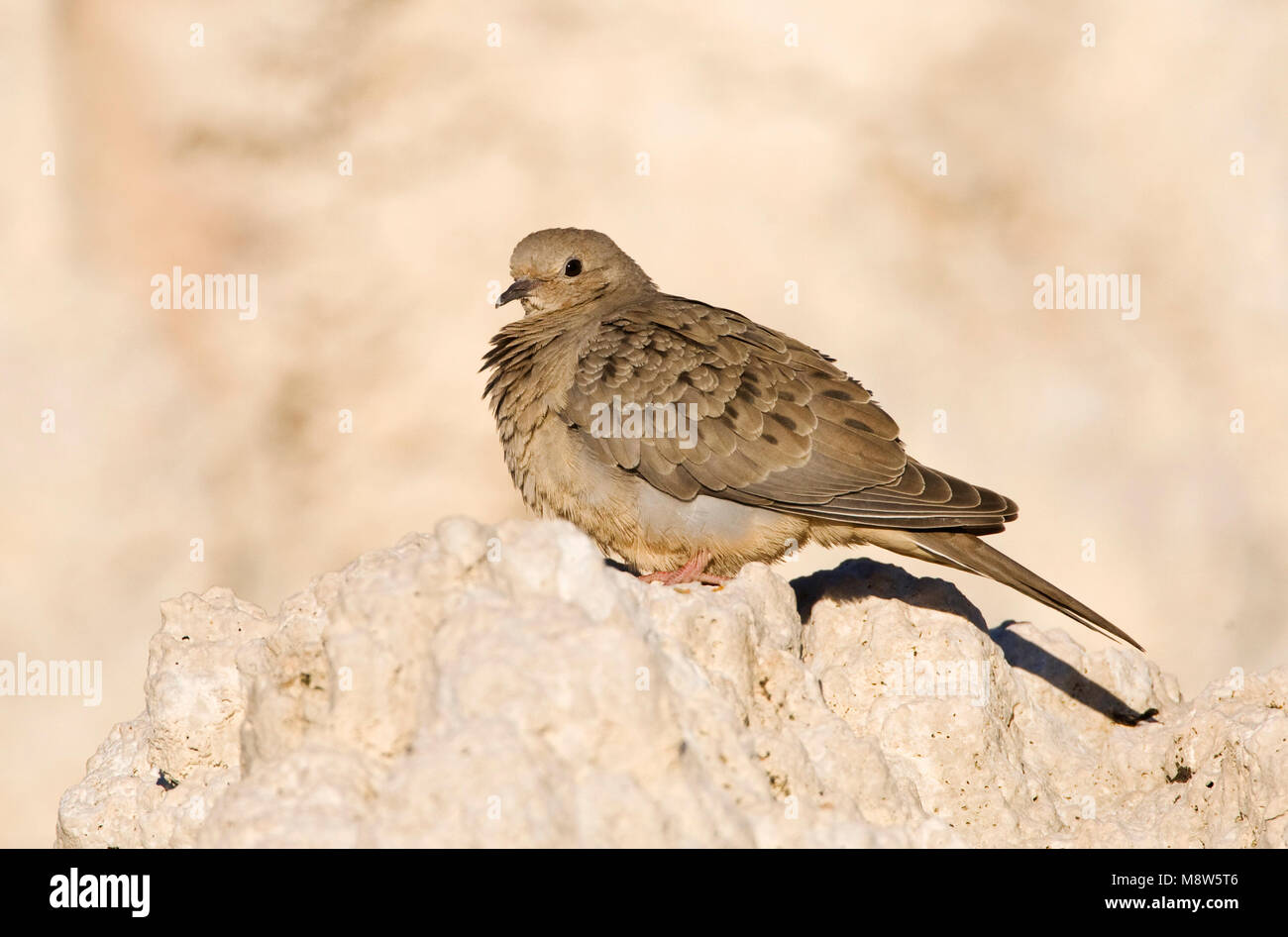 Treurduif, Mourning Dove - Stock Image