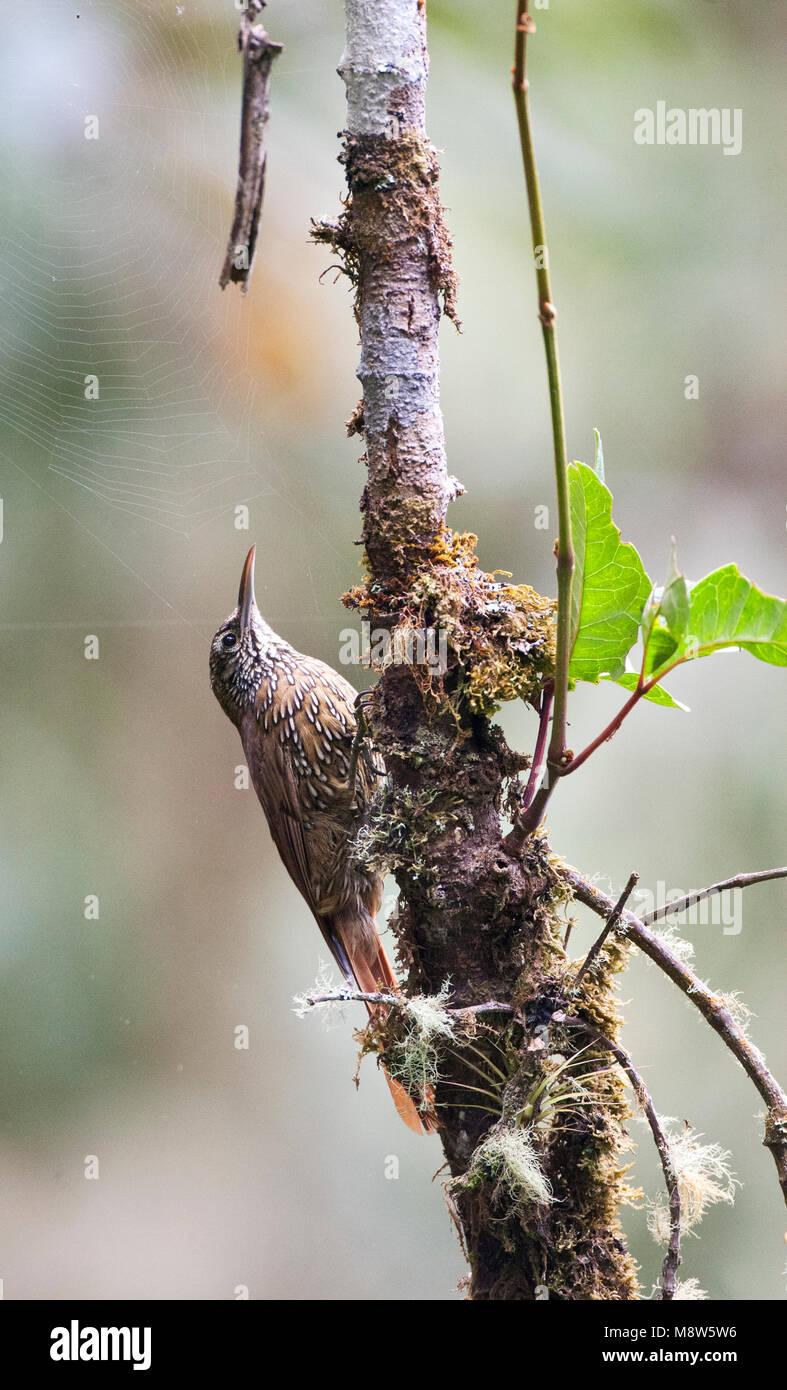 Bergmuisspecht, Montane Woodcreeper, Lepidocolaptes lacrymiger Stock Photo