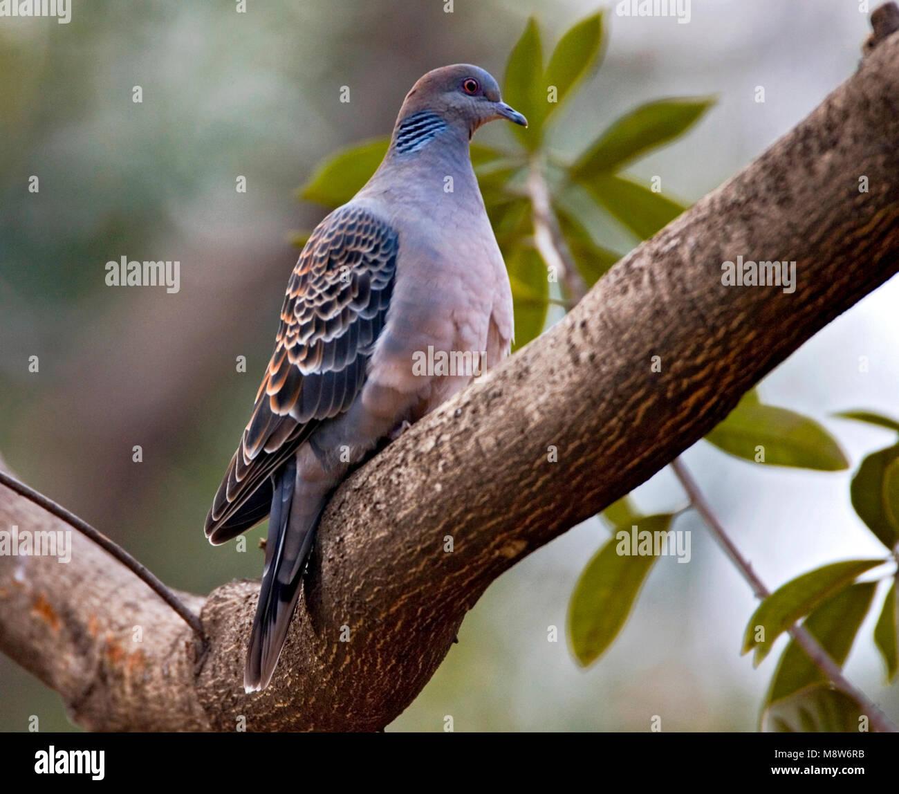 Oriental Turtle-Dove adult perched in a tree; Oosterse Tortel volwassen zittend in een boom Stock Photo