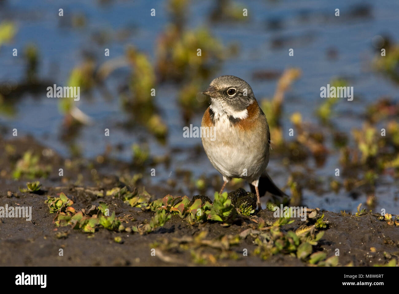 Roodkraaggors op de grond; Rufous-collared Sparrow on the ground Stock Photo