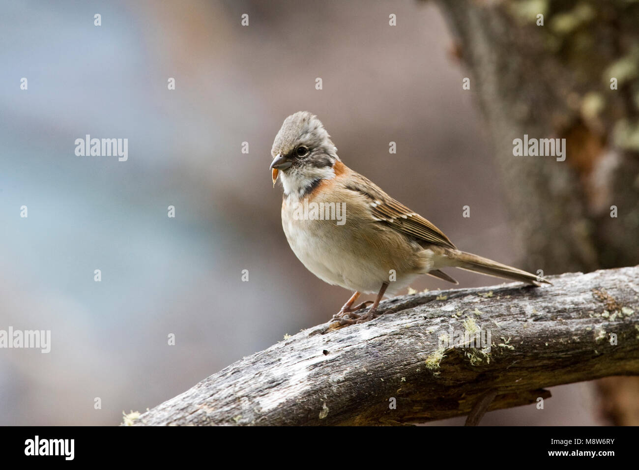 Roodkraaggors op een tak; Rufous-collared Sparrow perched on a branch Stock Photo