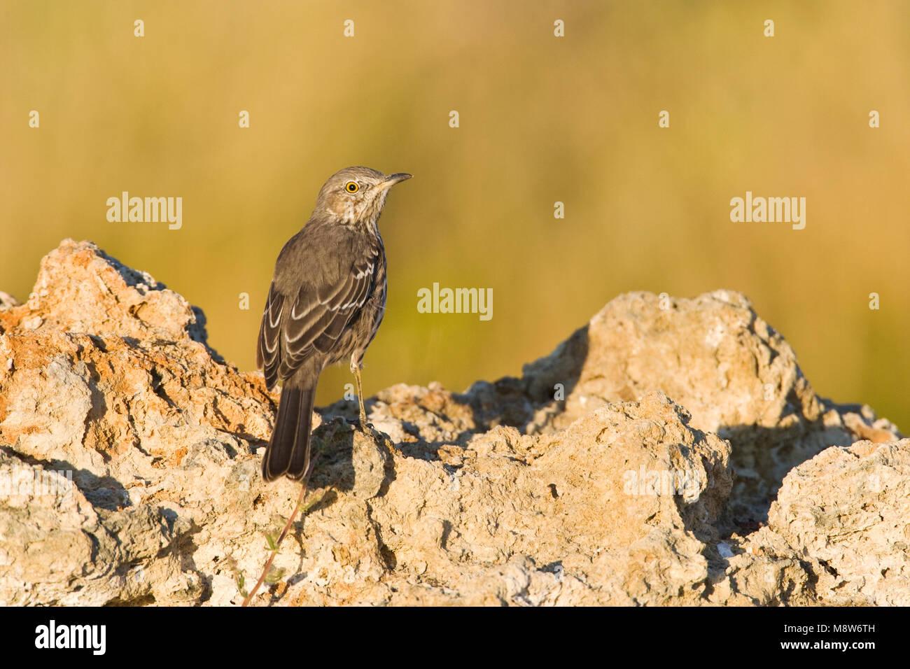 Bergspotlijster; Sage Thrasher - Stock Image