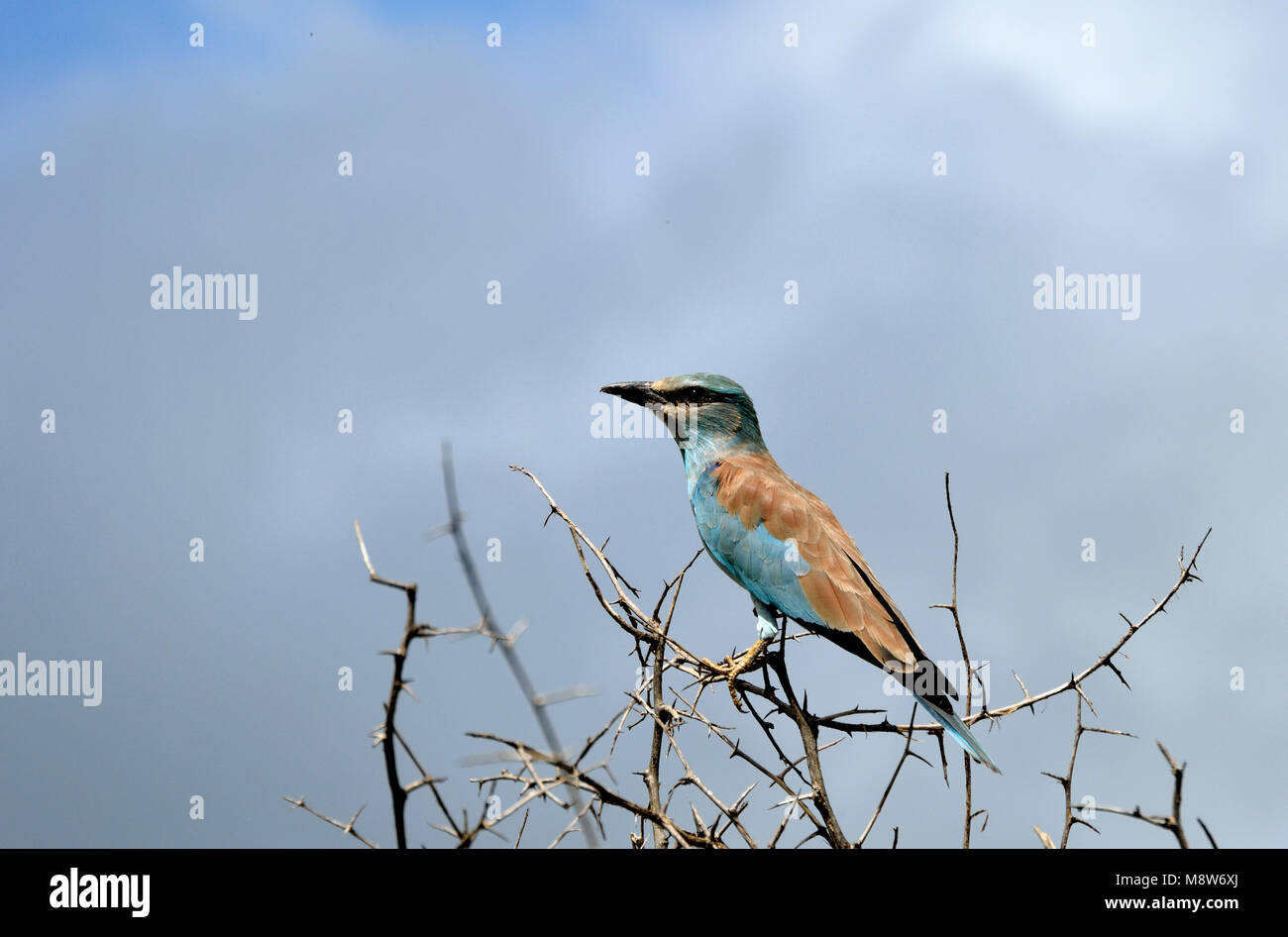 Eurasian Roller (Coracias garrulus). A summer migrant to Southern Africa - Stock Image