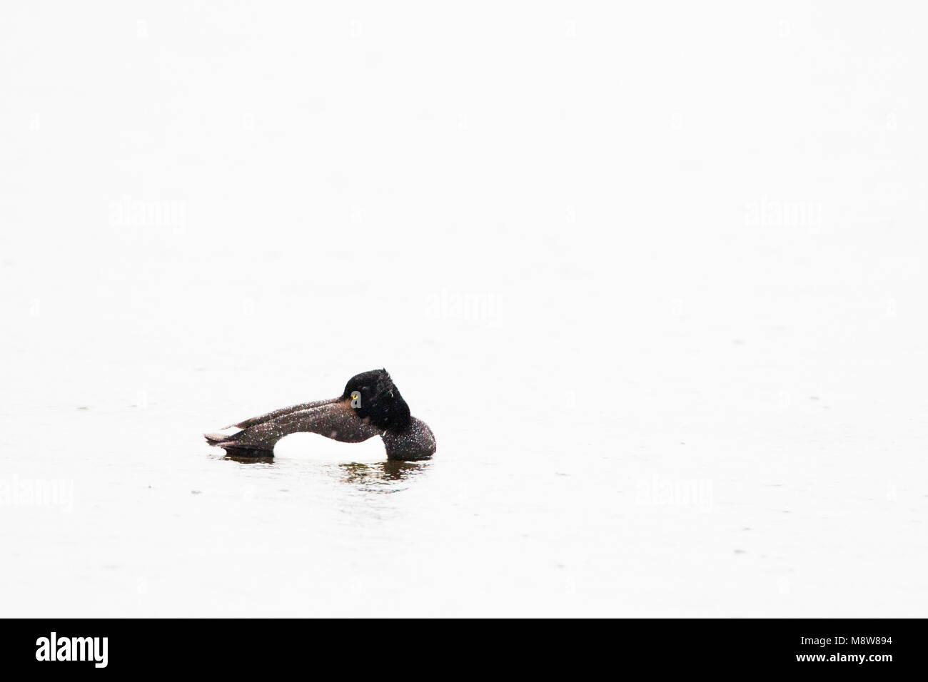 Kuifeend rustend in het water tijdens regenbui; Tufted Duck resting in water during rain shower - Stock Image