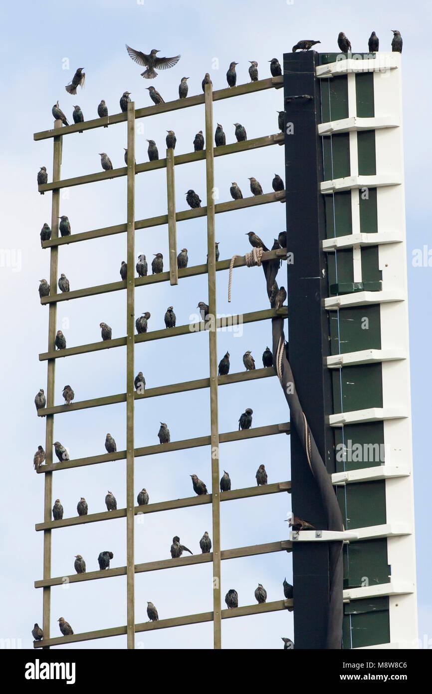 Zwerm spreeuwen zittend op wiek van windmolen; Common Starling flock perched on windmill - Stock Image