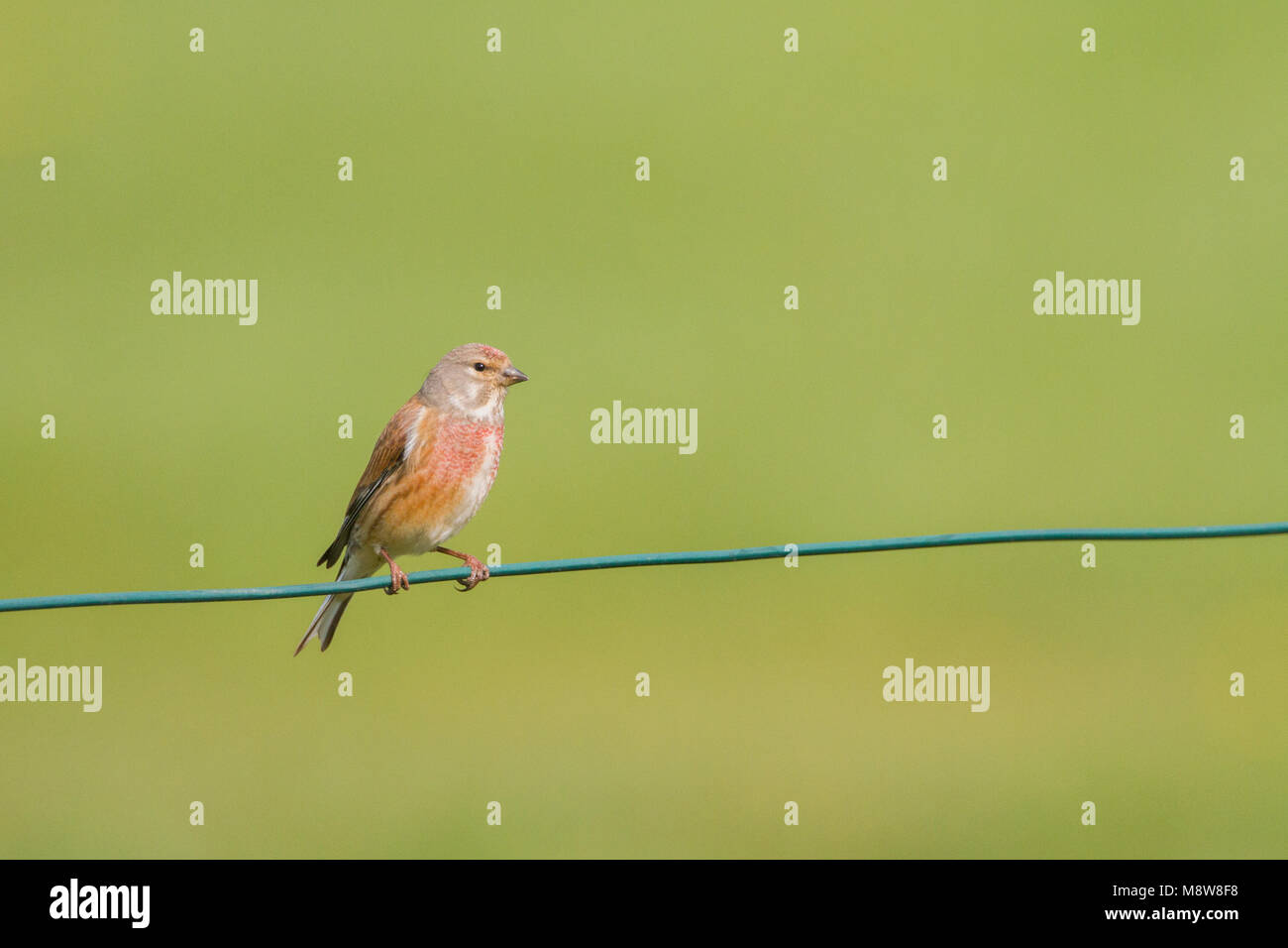 Kneu zit op tak; Common Linnet perched on branch - Stock Image