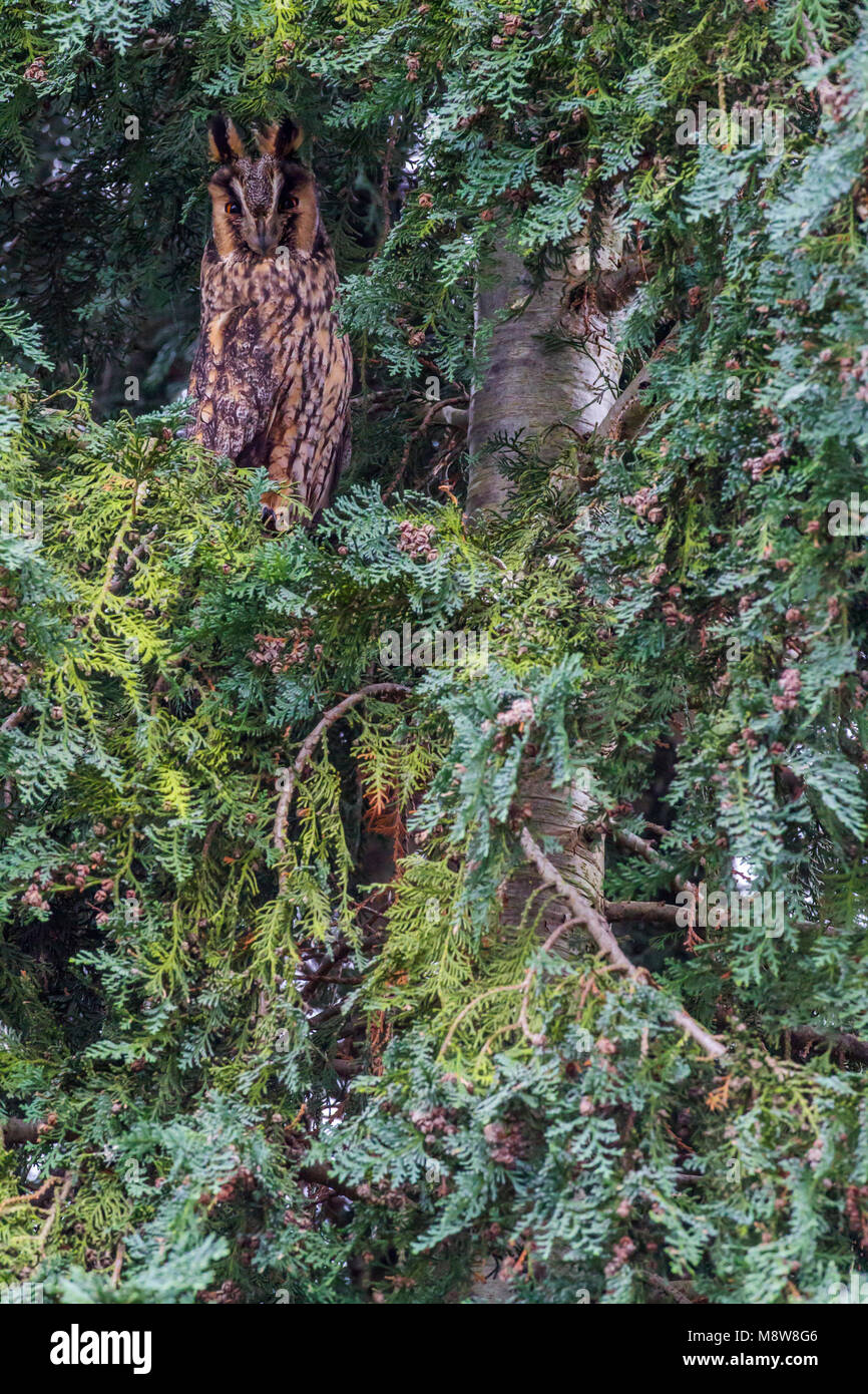 Ransuil zittend in conifeer; Long-eared owl perched in conifer - Stock Image