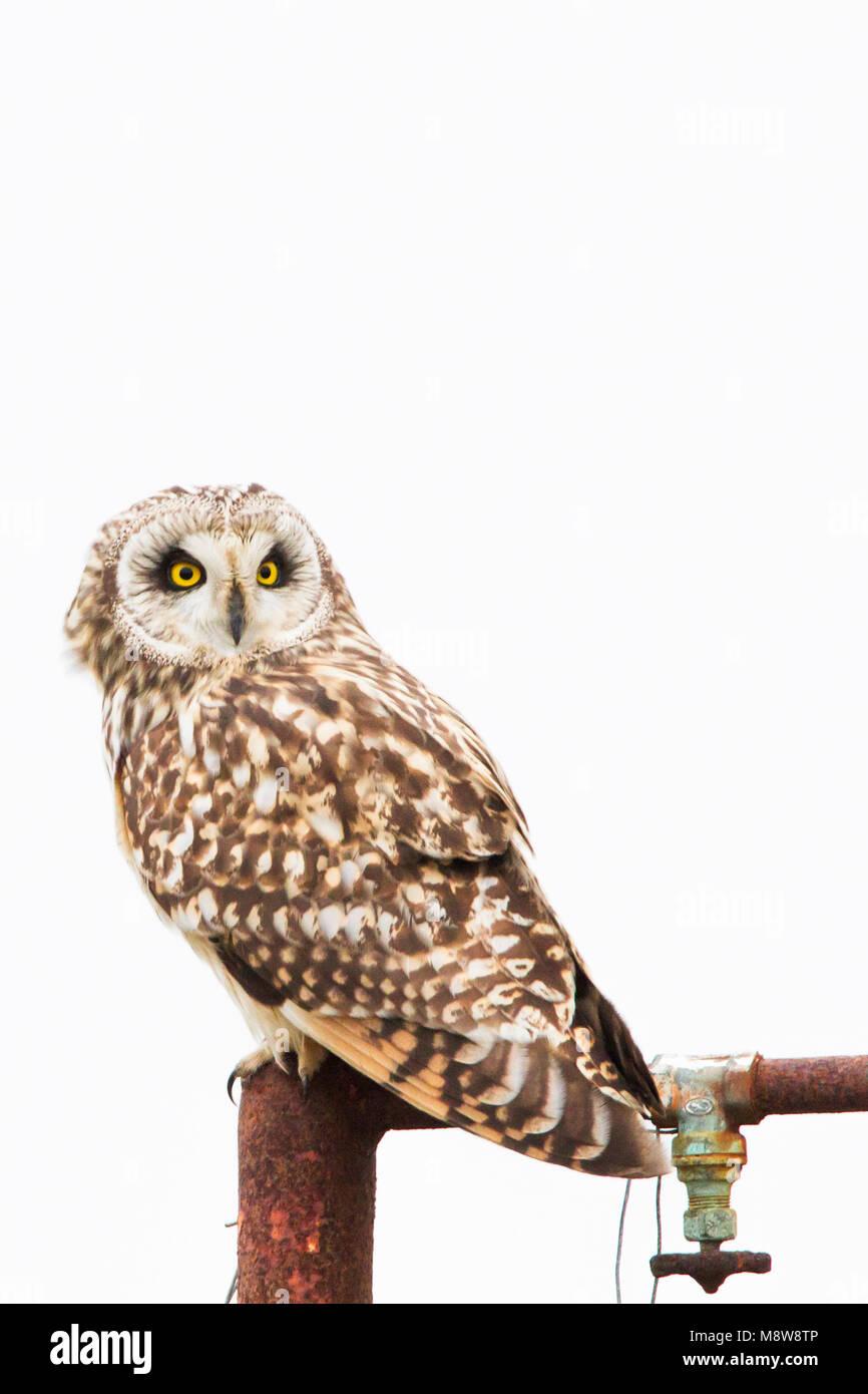 Velduilen zittend op paal; Short-eared Owl perched on pole Stock Photo