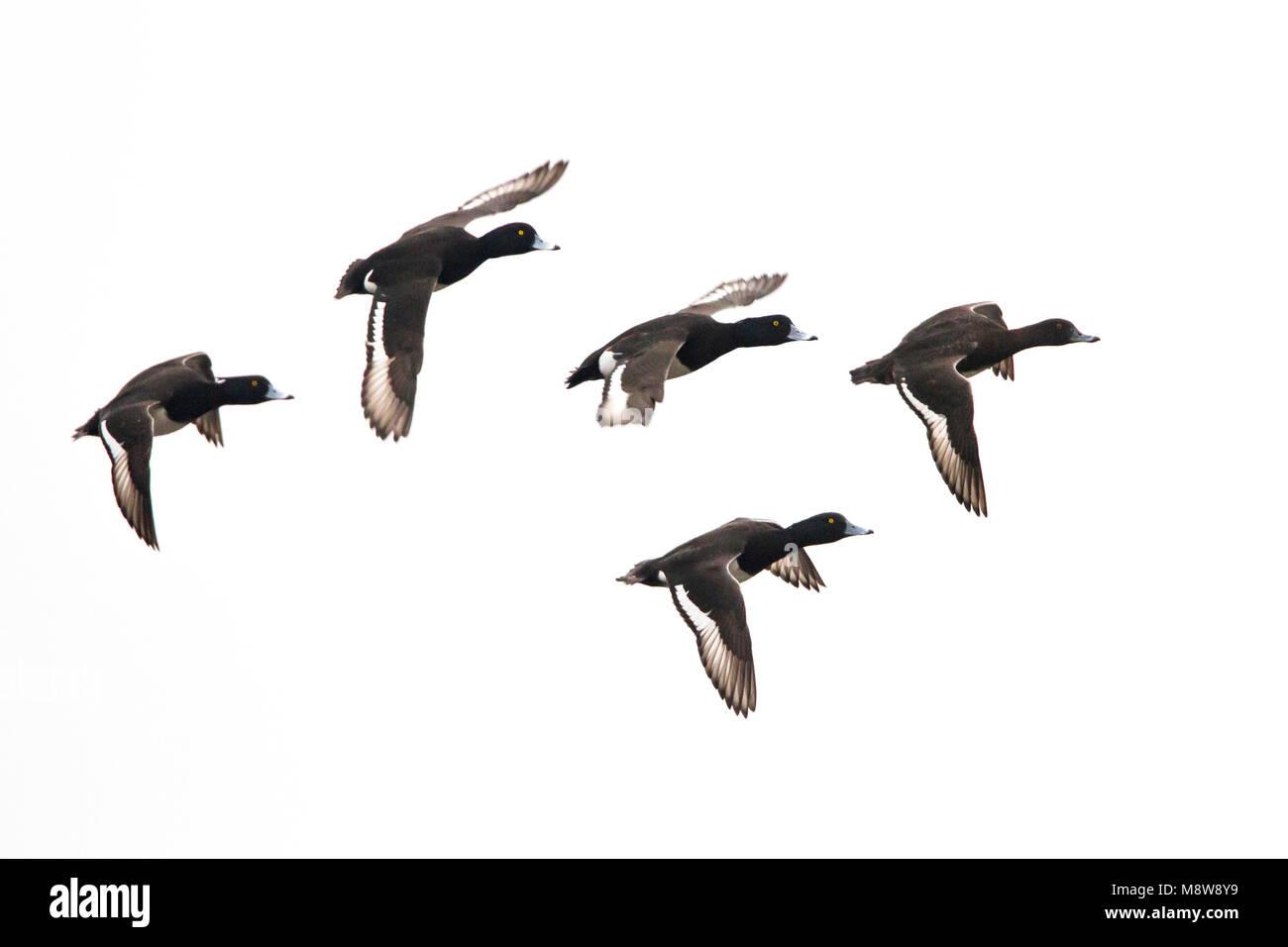 Kuifeend groep vliegend; Tufted Duck flock flying - Stock Image