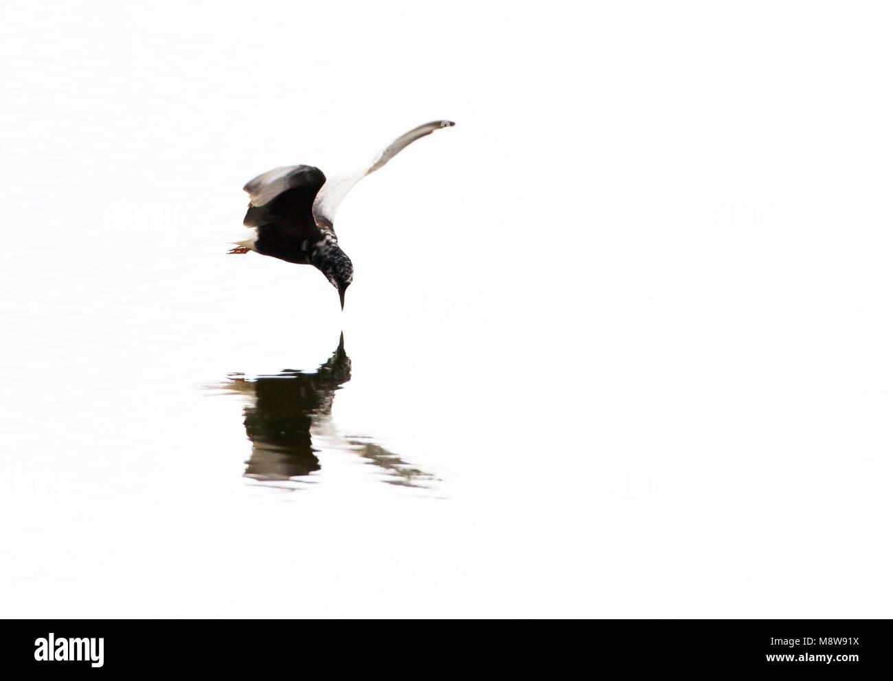 Witvleugelstern vliegend; White-winged Black Tern flying - Stock Image