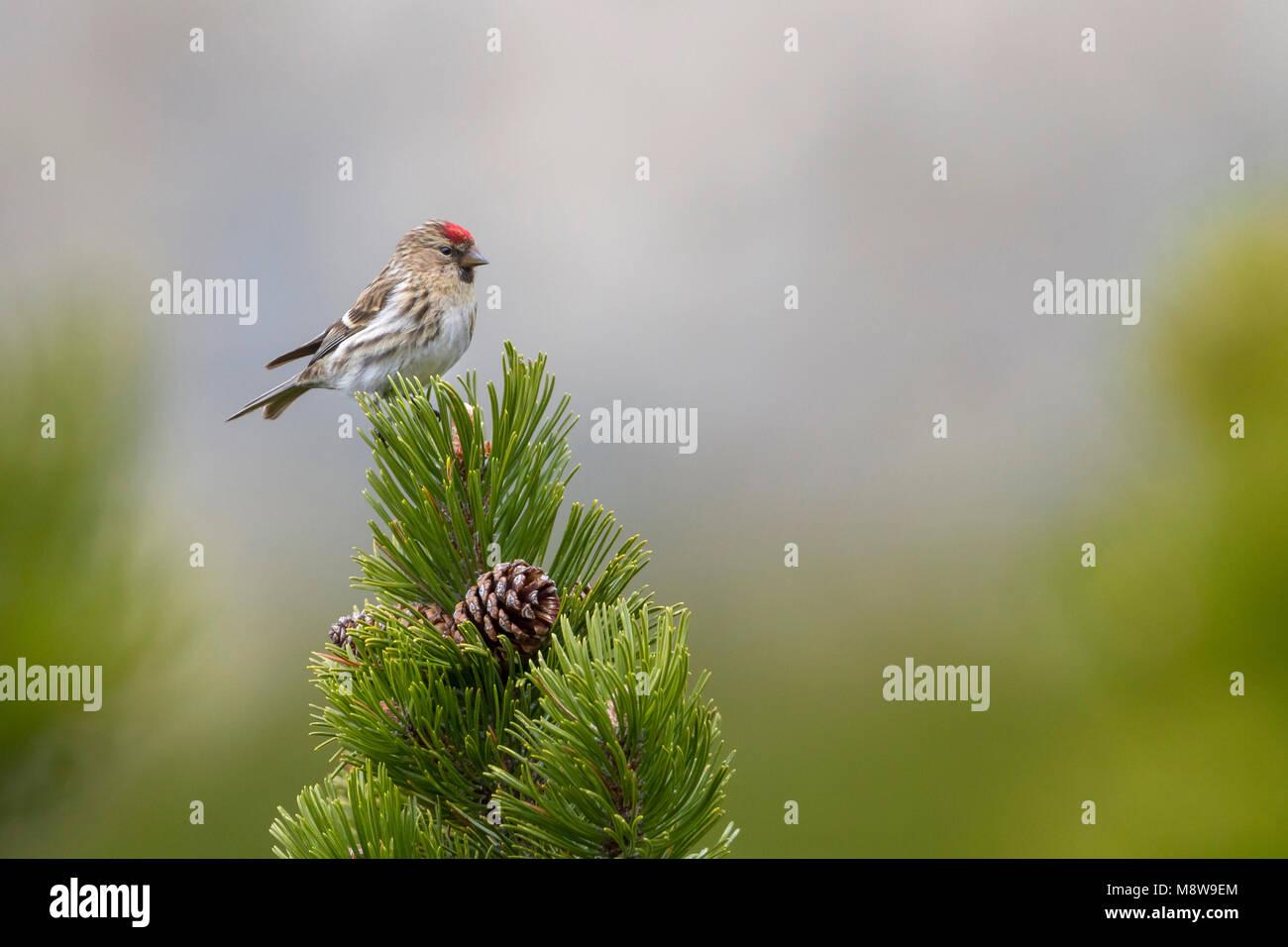 Lesser Redpoll - Alpen-Birkenzeisig - Carduelis cabarett, Austria, adult female - Stock Image