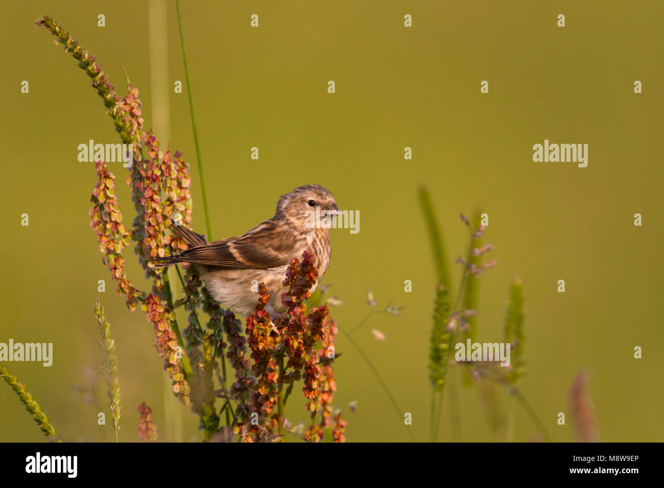 Lesser Redpoll - Alpen-Birkenzeisig - Carduelis cabarett, Austria, juvenile - Stock Image