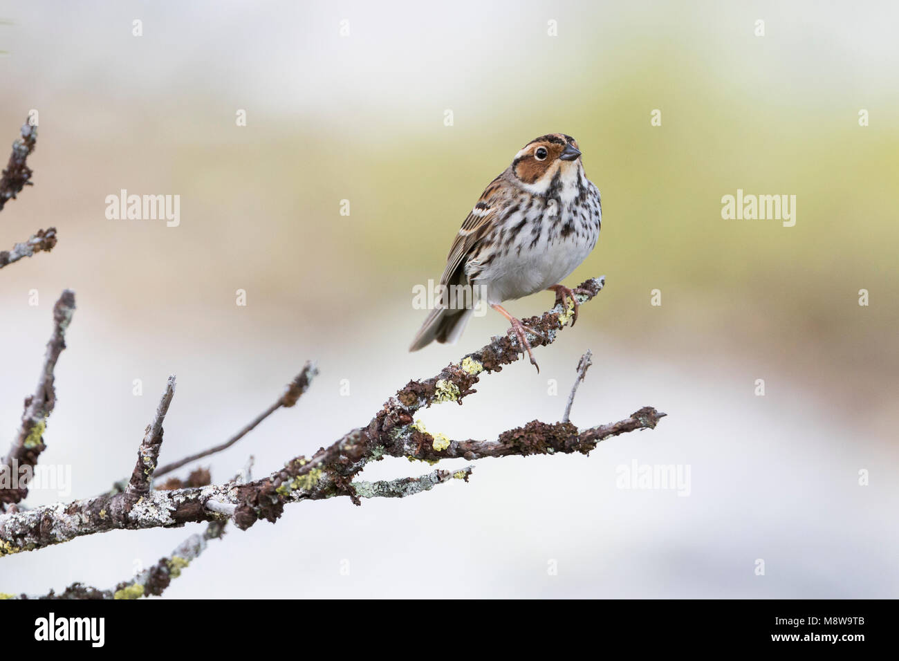 Little Buntint - Zwergammer - Emberiza pusilla, Russia - Stock Image