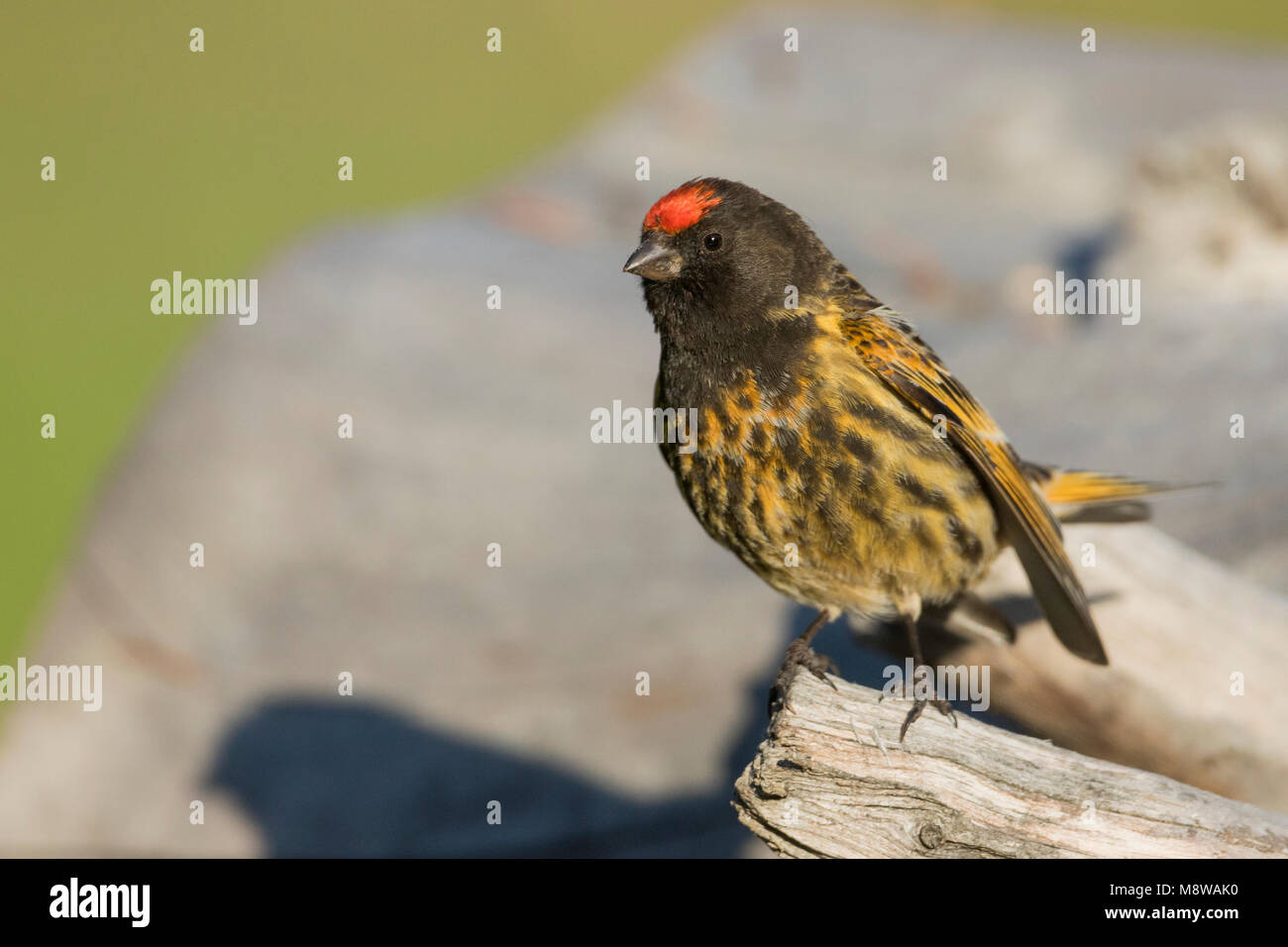 Red-fronted Serin - Rotstirngirlitz - Serinus pusillus: Kyrgyzstan - Stock Image
